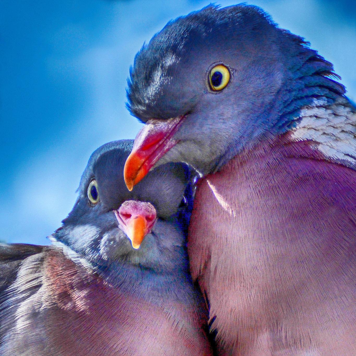 Love Birds by furudwaith