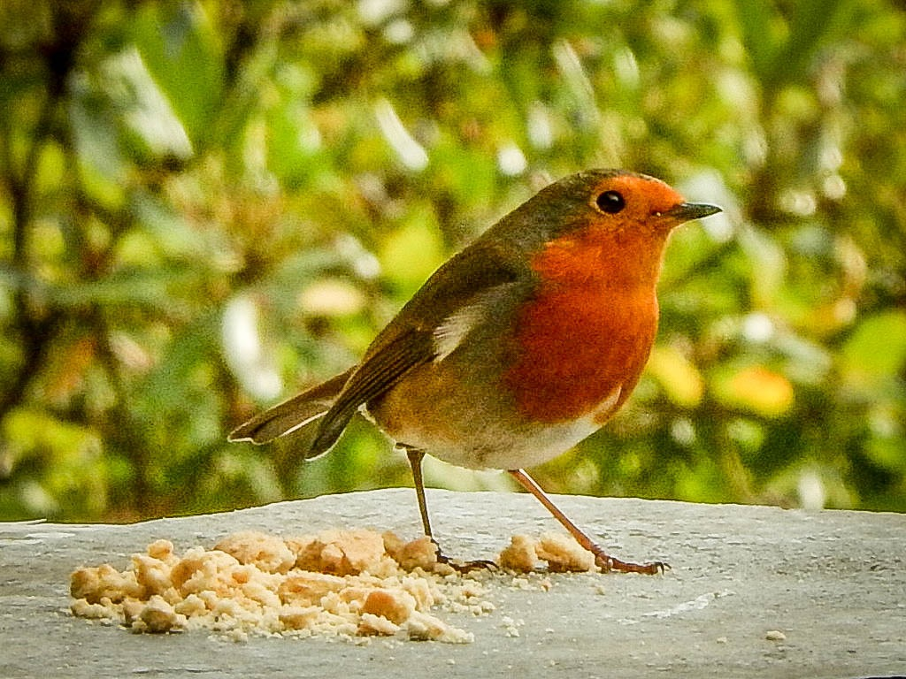 Red Robin by EdR