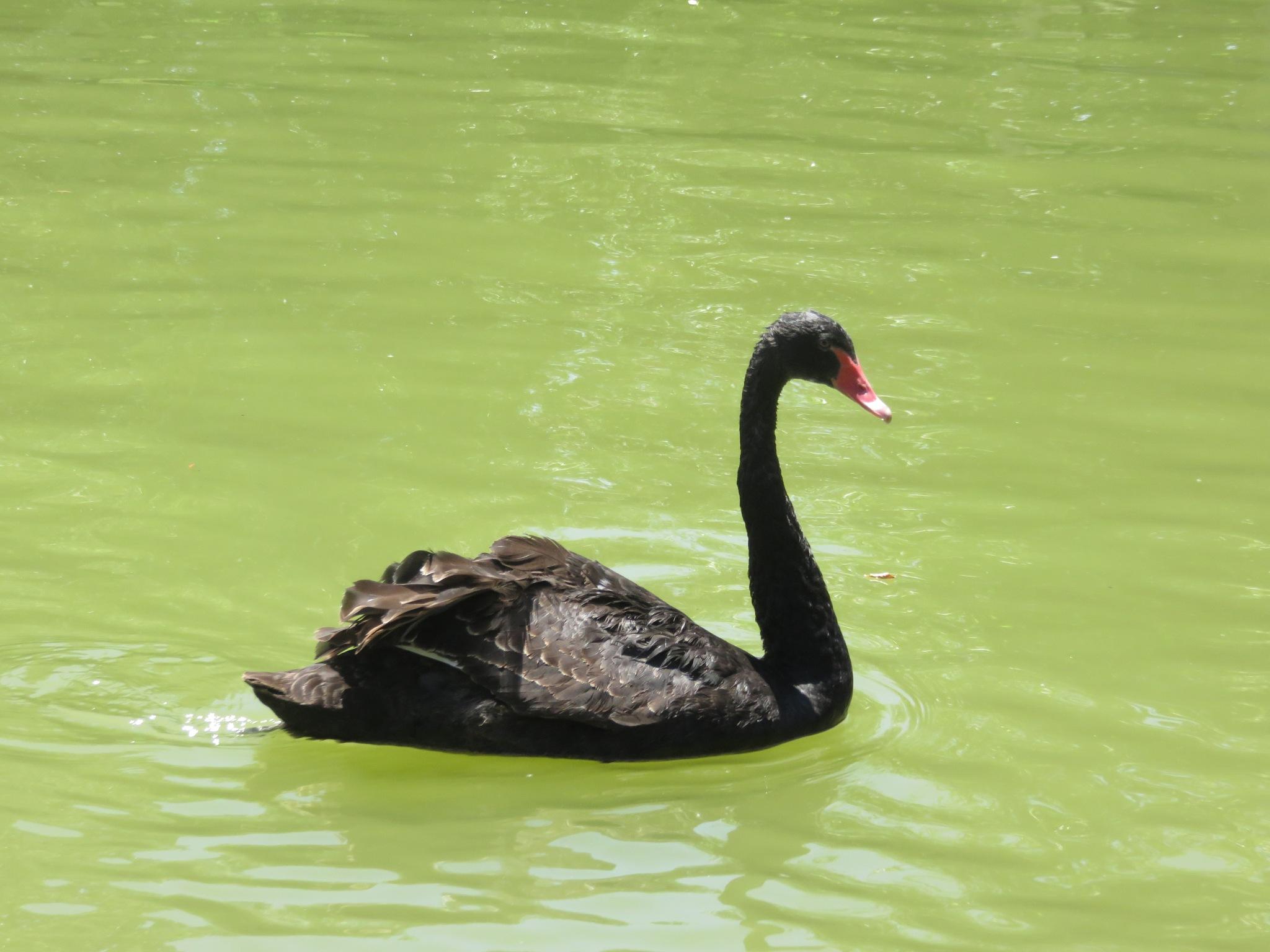 Black Swan by kamelk