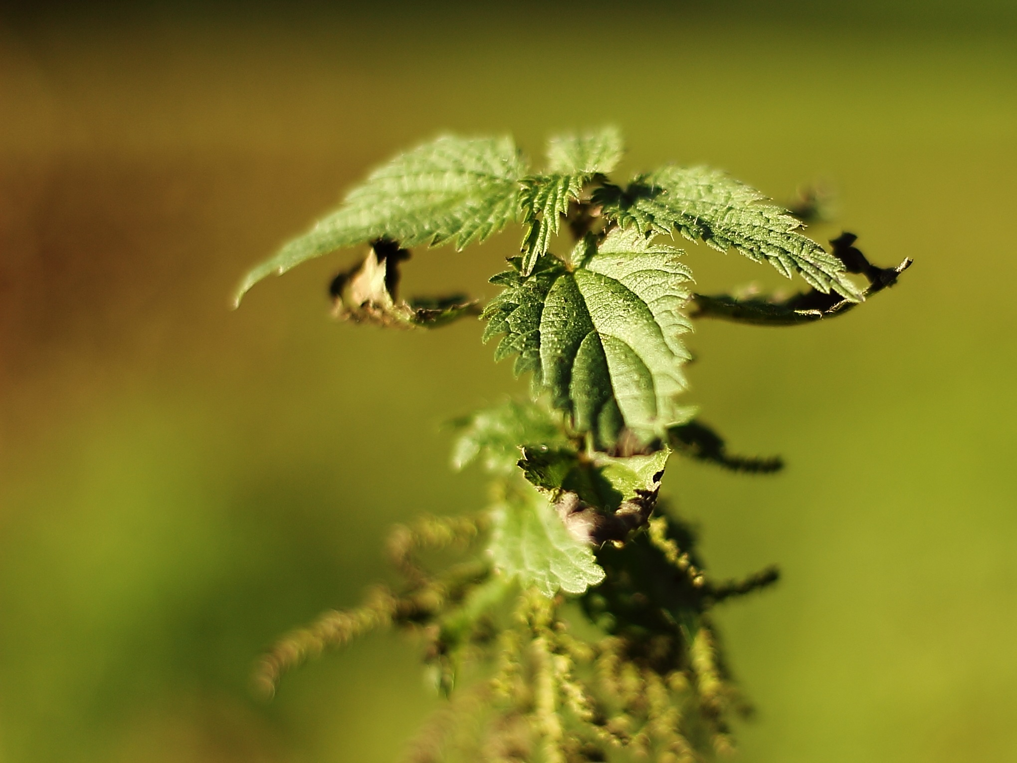 Stinging Nettle - keep clear! by Thomas Lenz