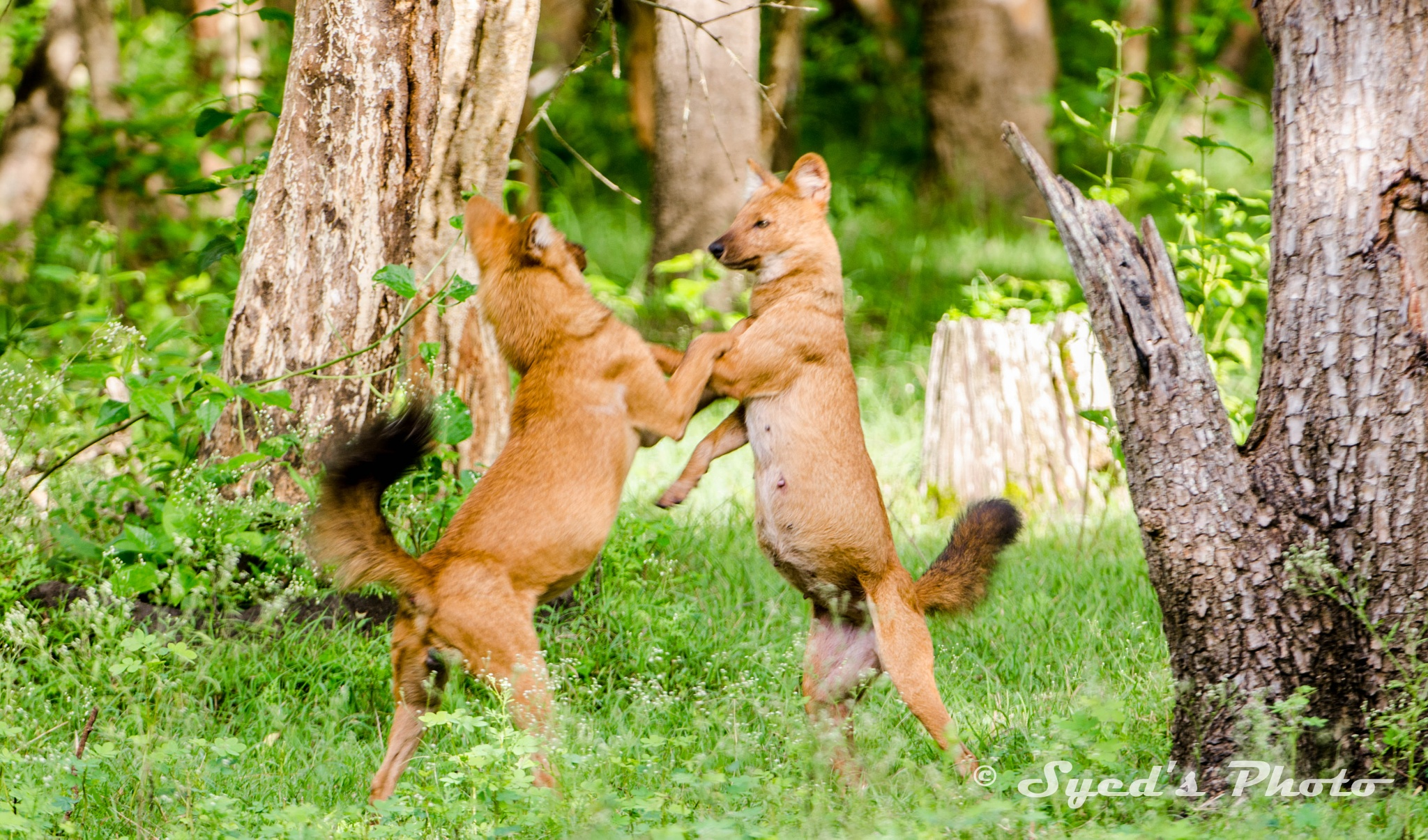 Dhole by Syed Ahmed