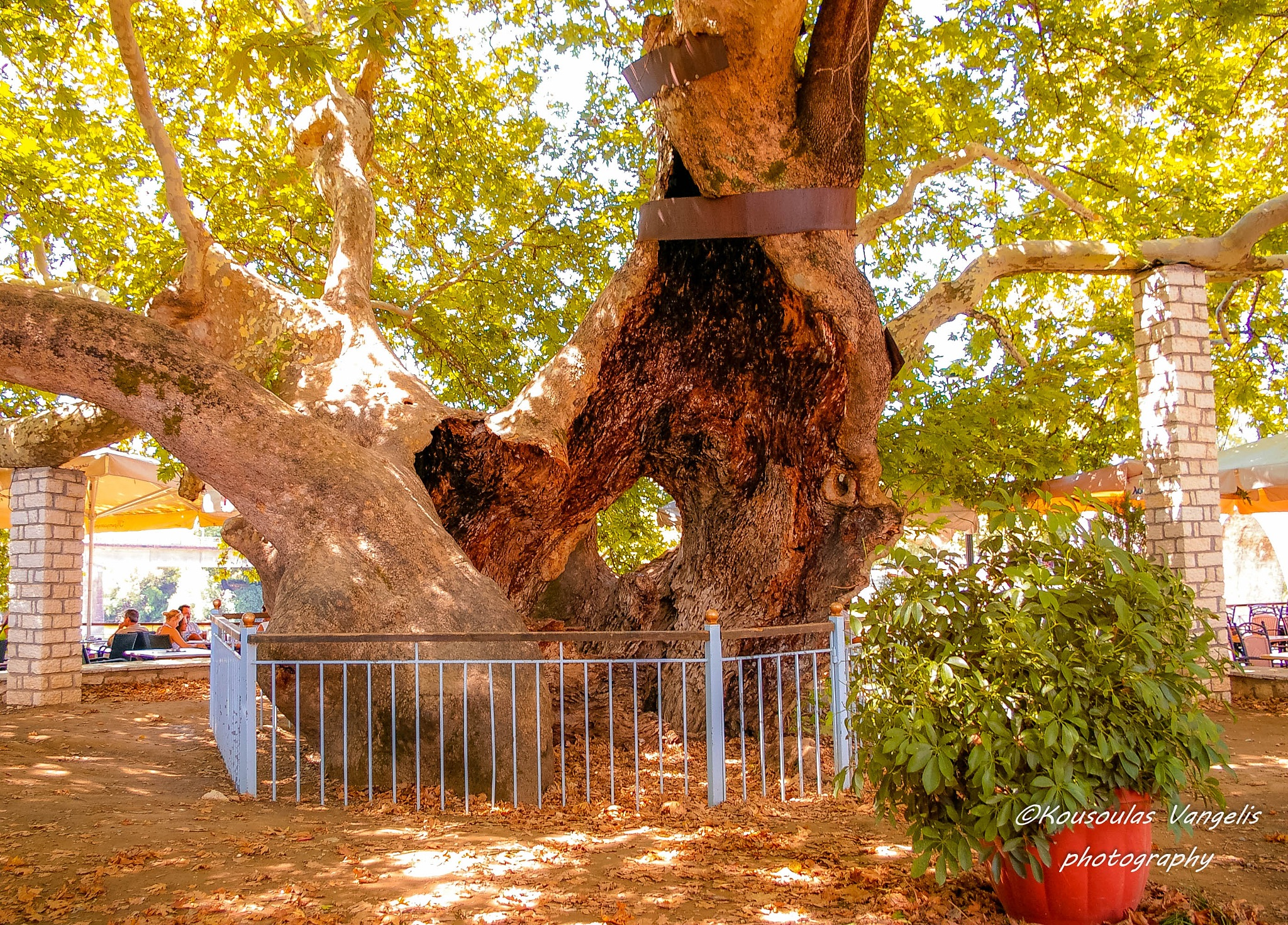 plane tree by kousoulas vangelis