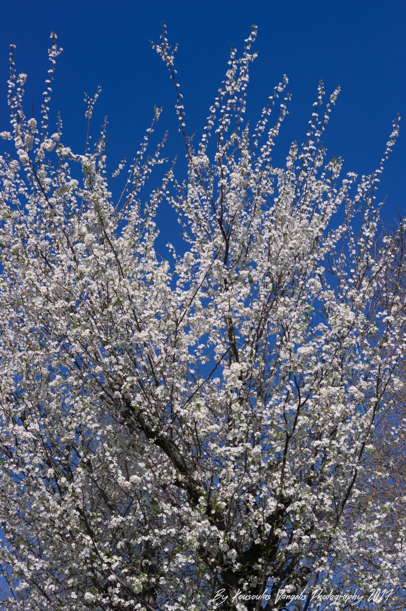 spring flowers by kousoulas vangelis