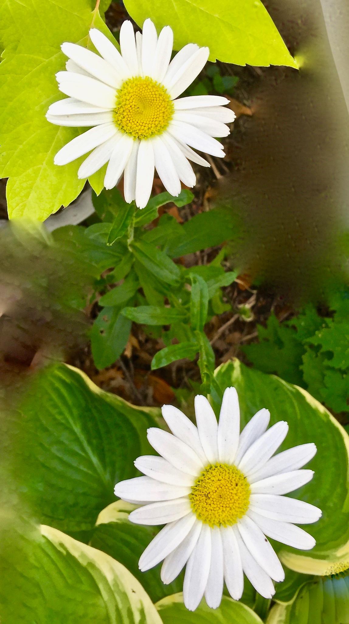 Daisy by LauraAnn