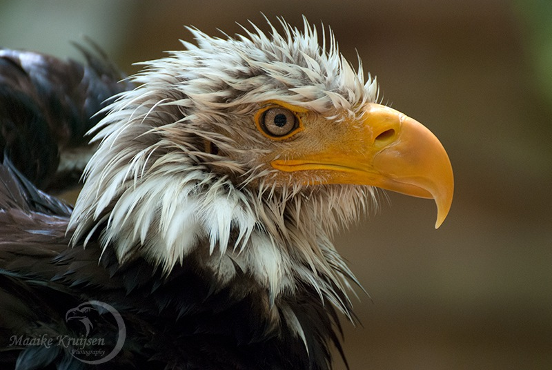 Bald eagle after bathing by Maaike Kruijsen