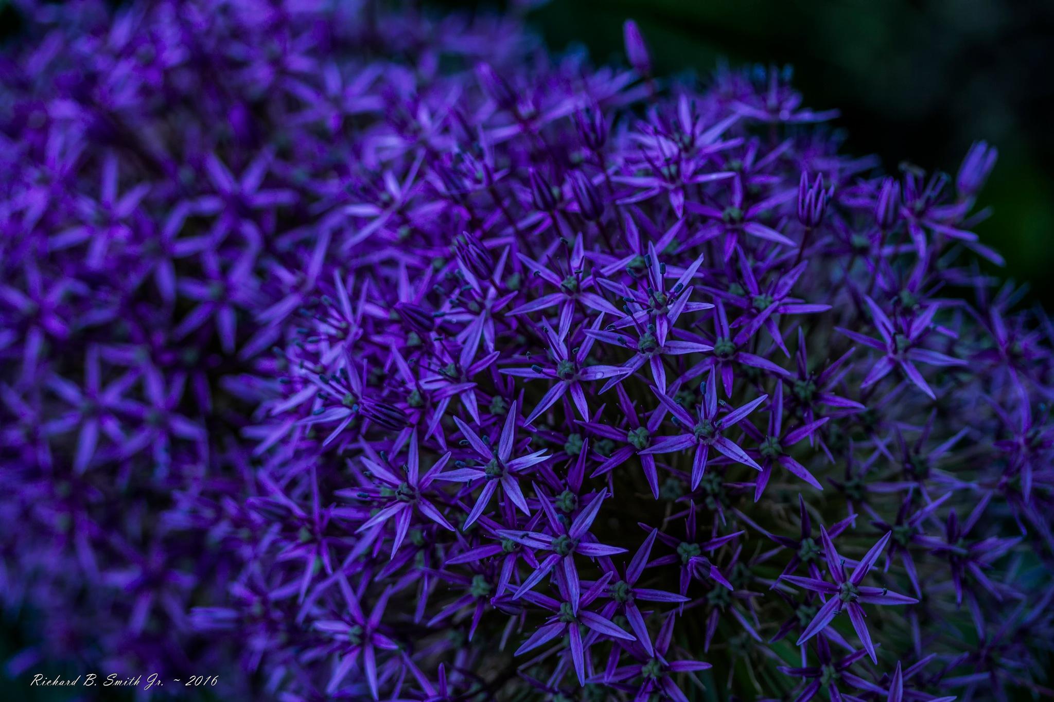 Purple Allium by Richard B.  Smith Jr.