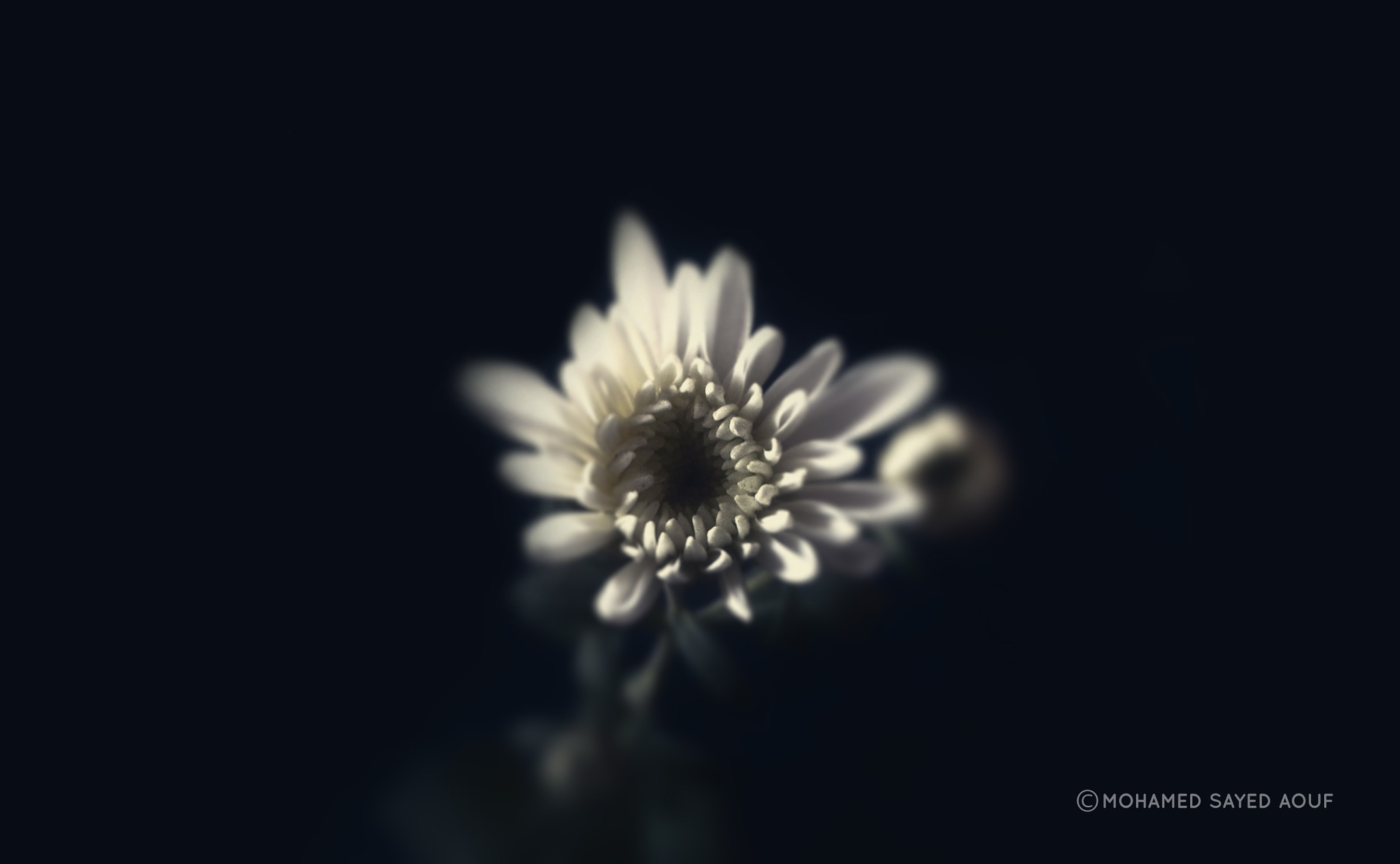 Chrysanthemum white by Mohamed Sayed Aouf