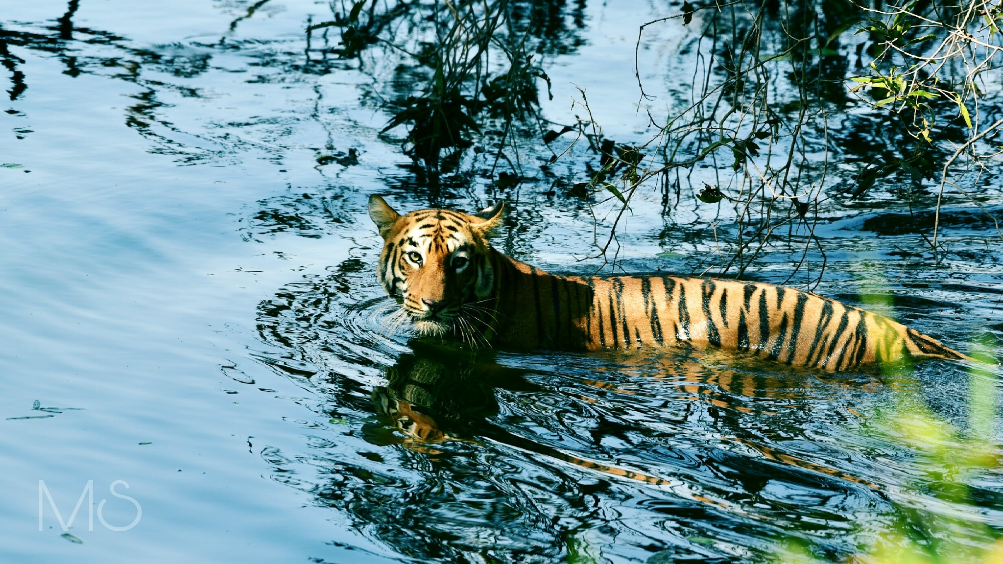 The Tiger of the blue waters by michaelstonephotography
