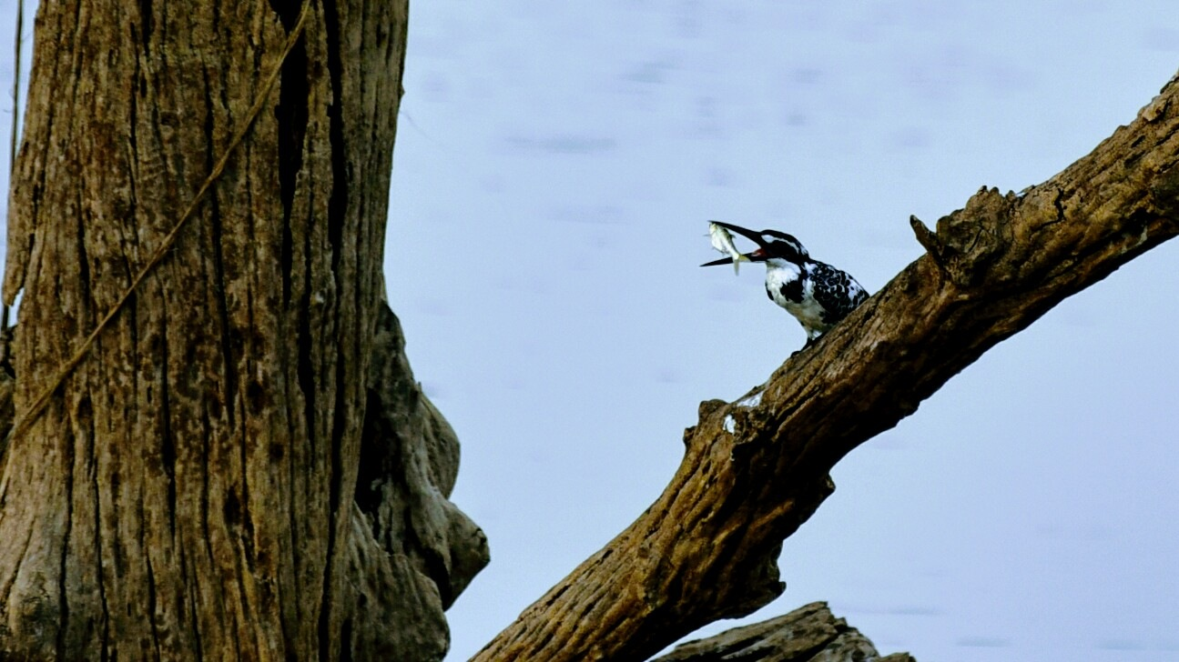 Kingfisher with it's fish by michaelstonephotography