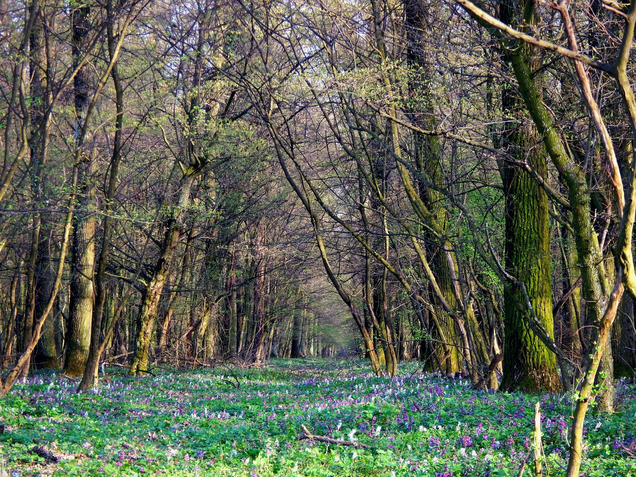wood in spring by Bilja