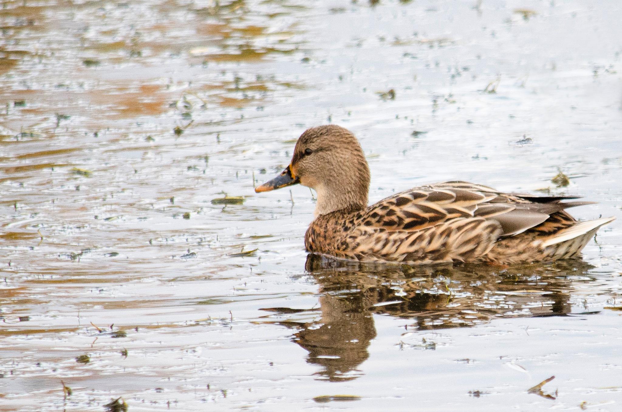Raining on a Quacker by MattAubin