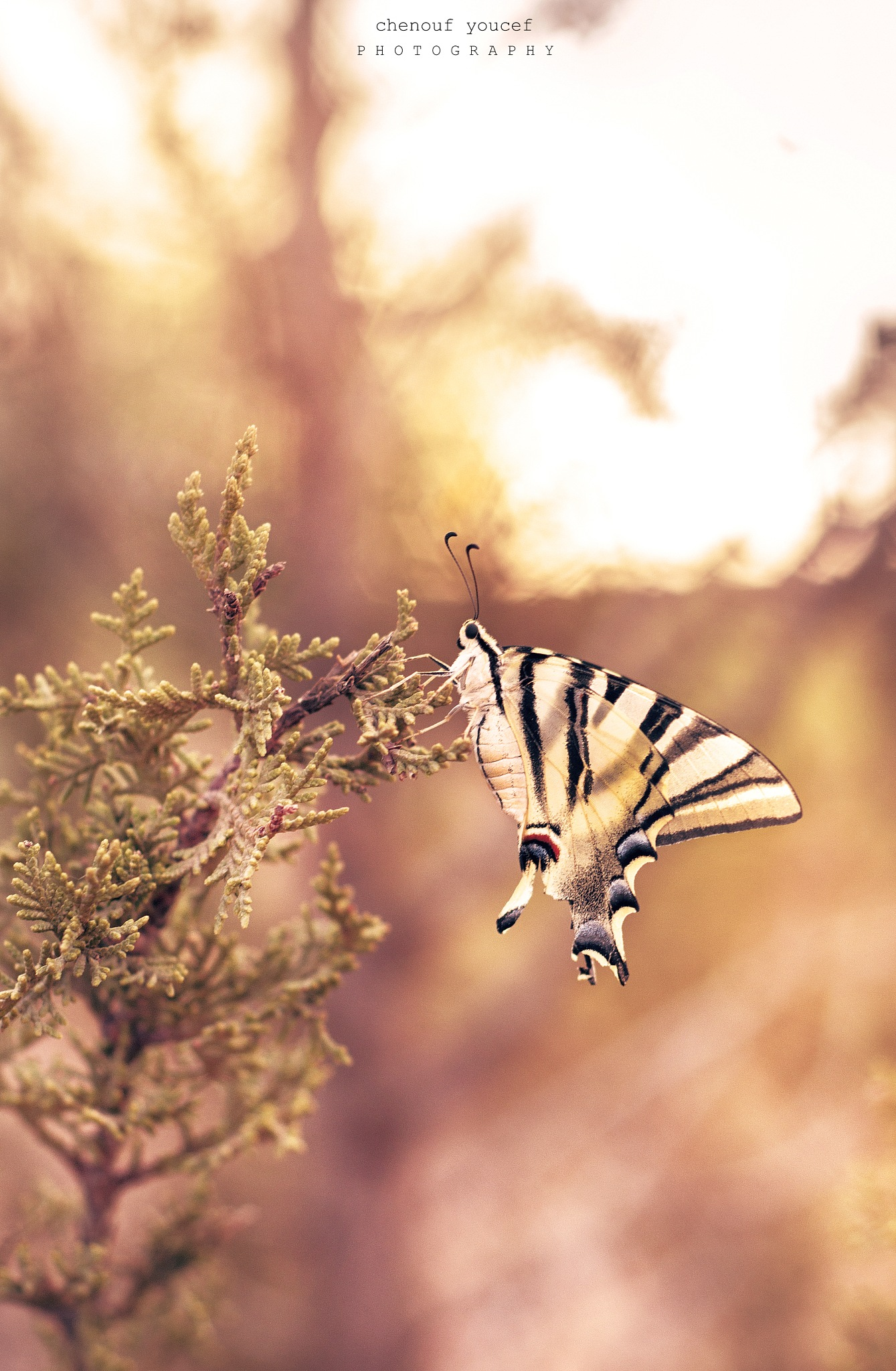 butterfly by Che Youcef