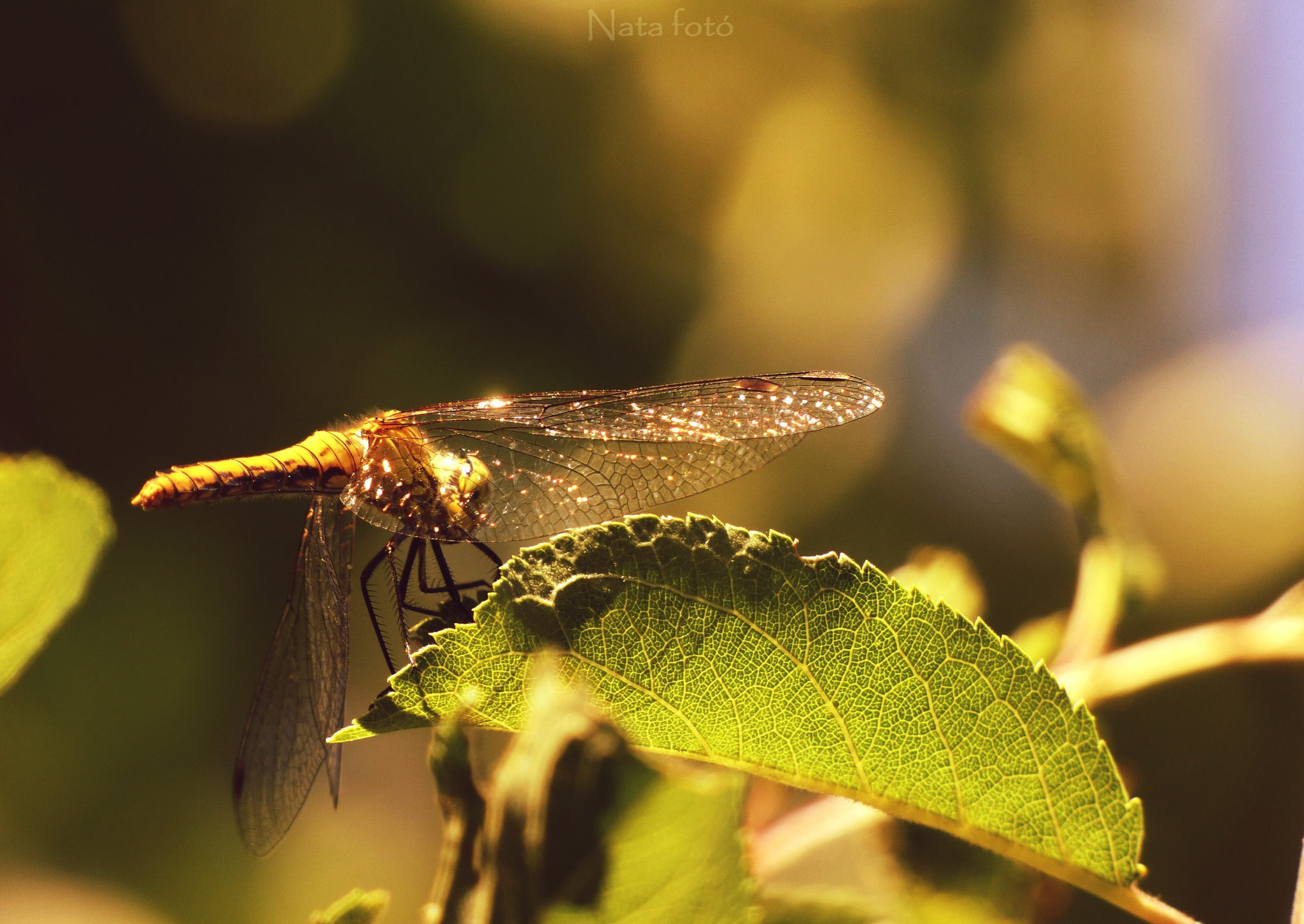 Dragonfly in the sunset by Nata