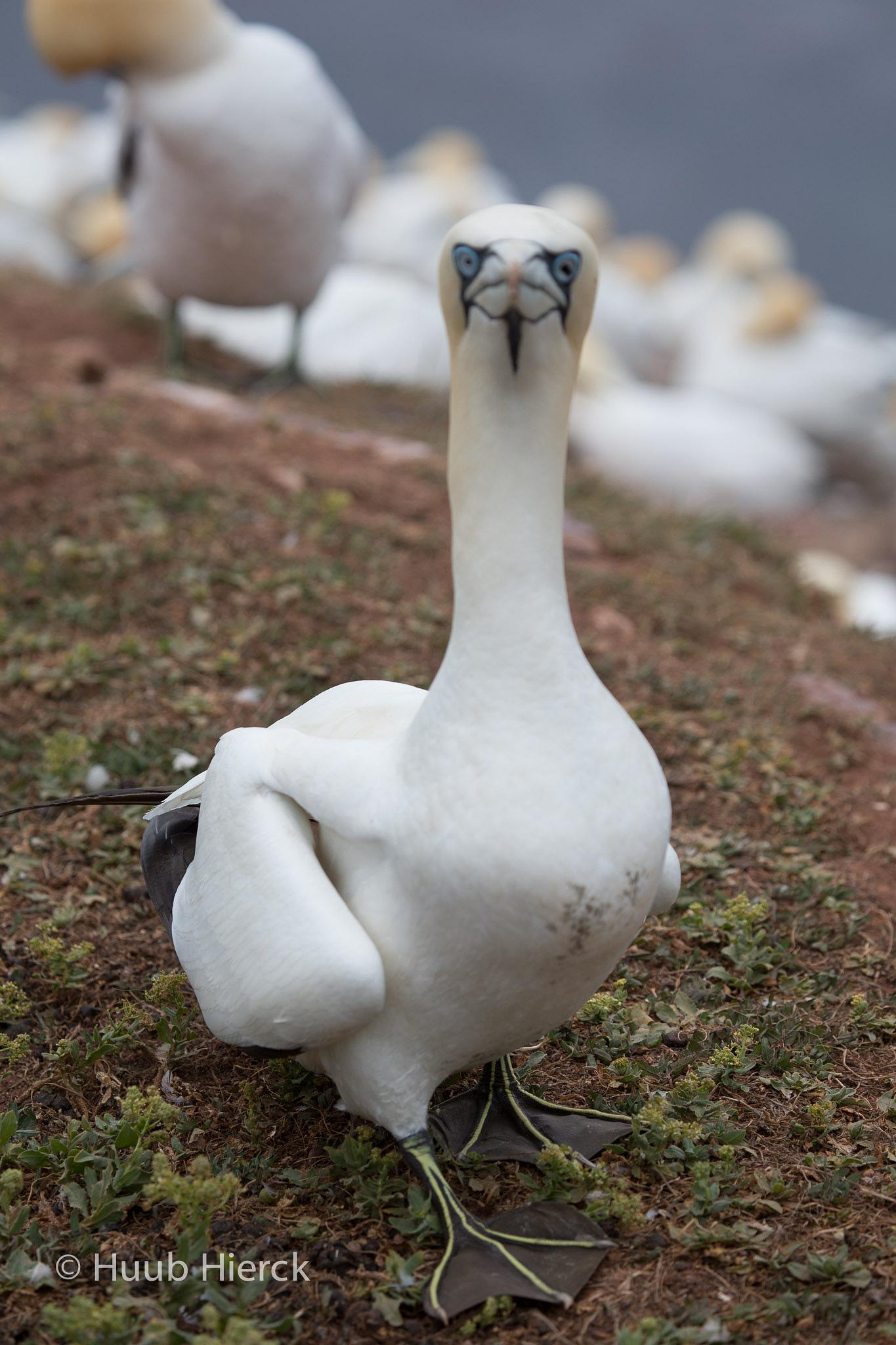 Gannet by Angus