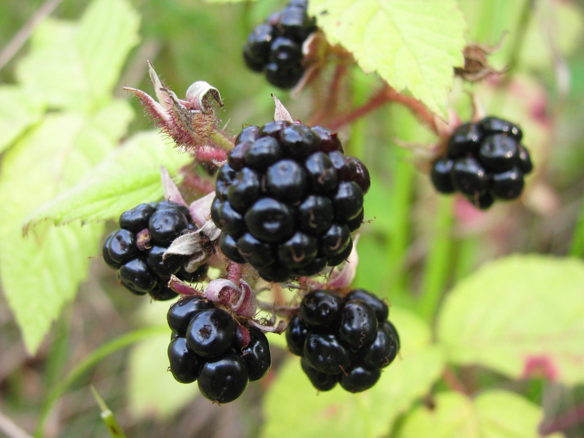 Blackberries ! by Elena Maria