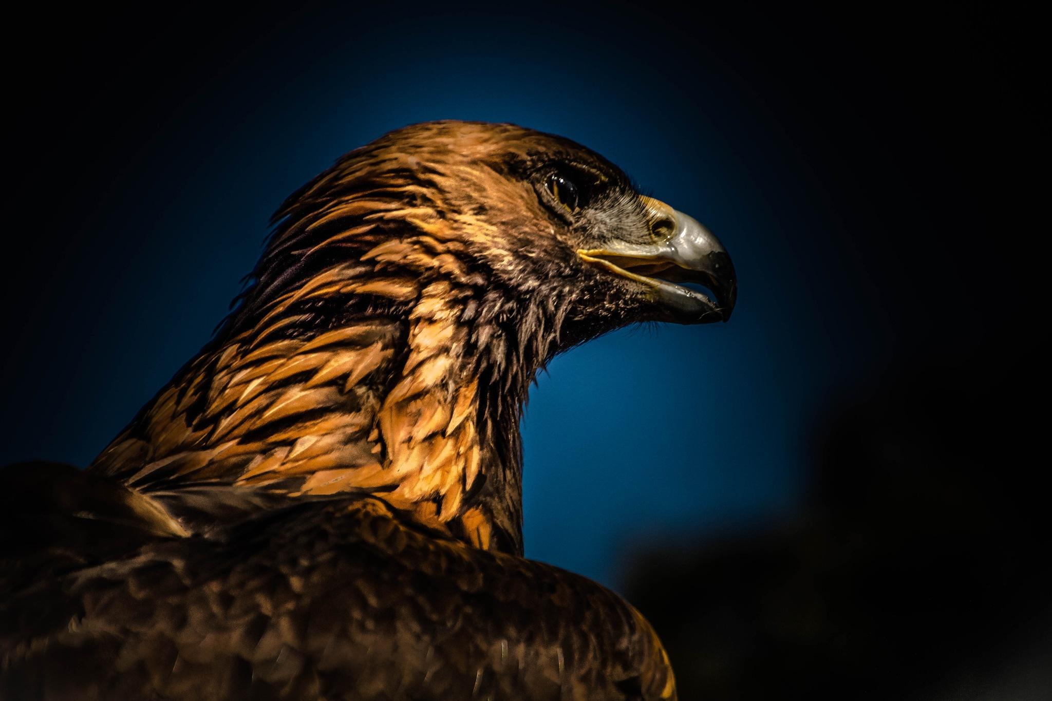 the eagle by Kurt Land