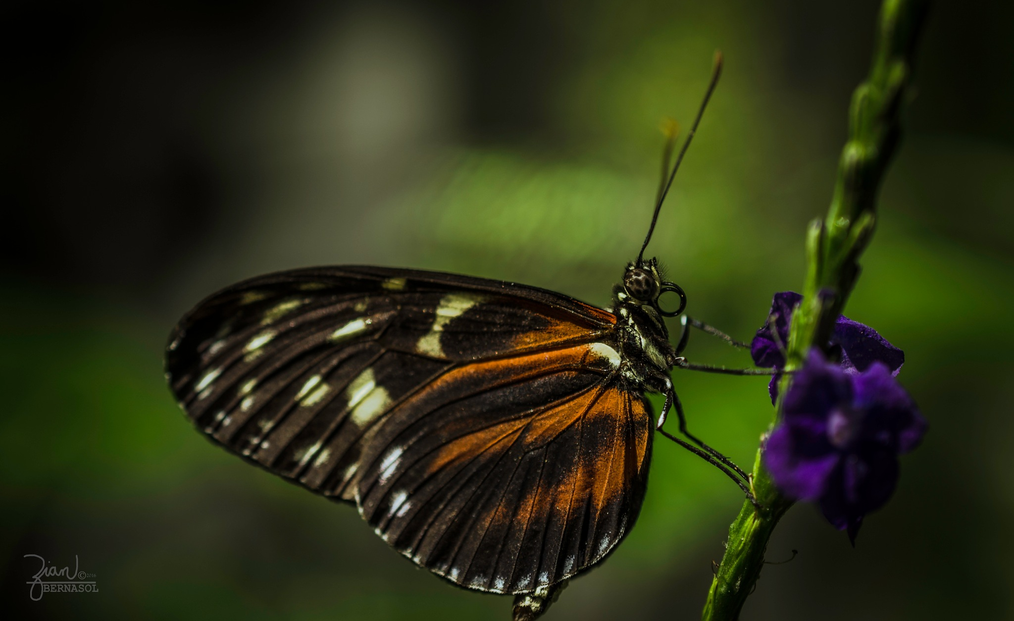 Butterfly wings by Zian Bernasol