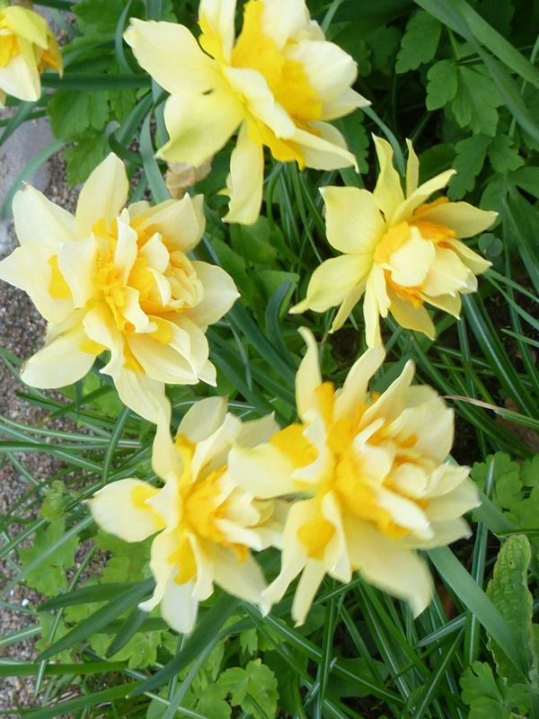 Cluster of Yellow Petals ! by Mara1