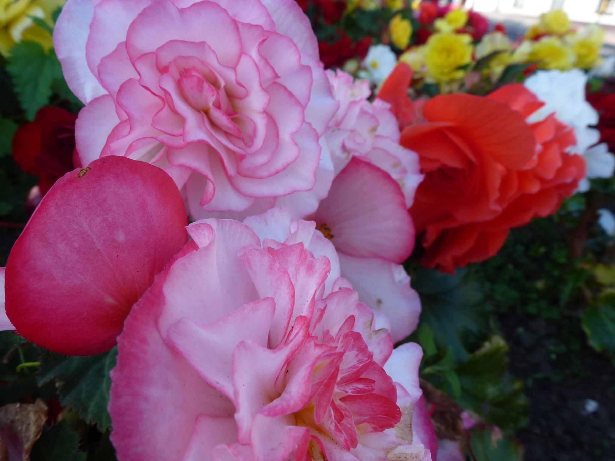 Begonia Flowers ! by Mara1