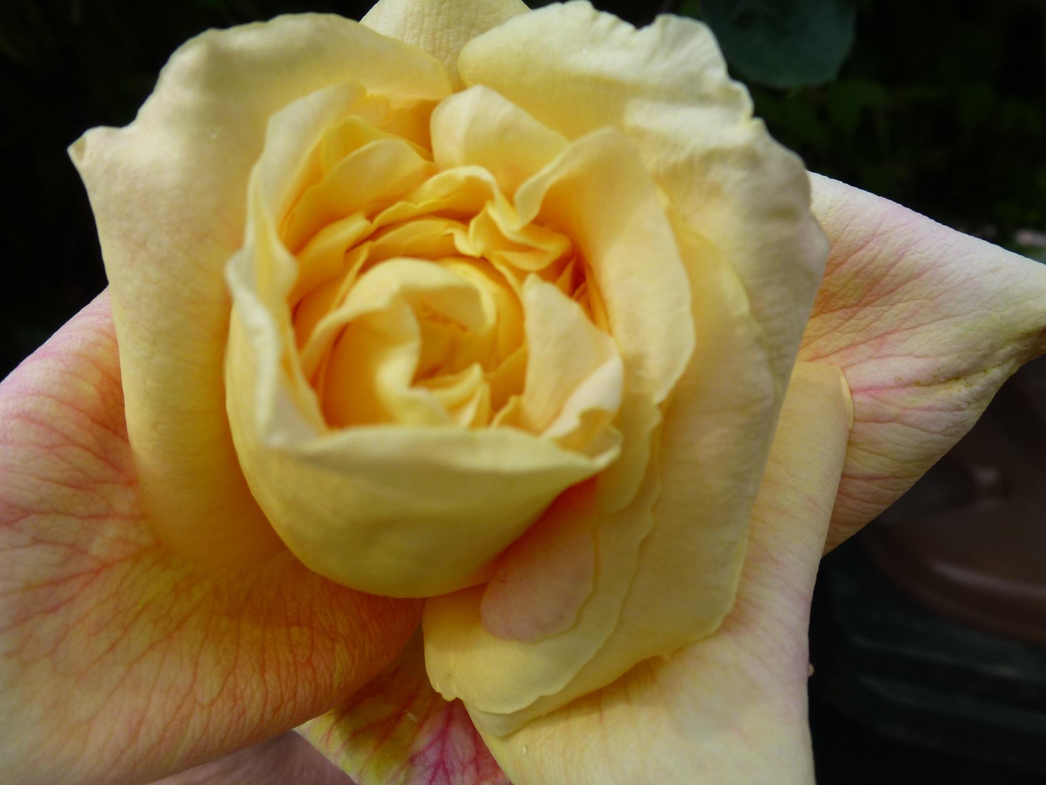 Yellow Rose ! by Mara1