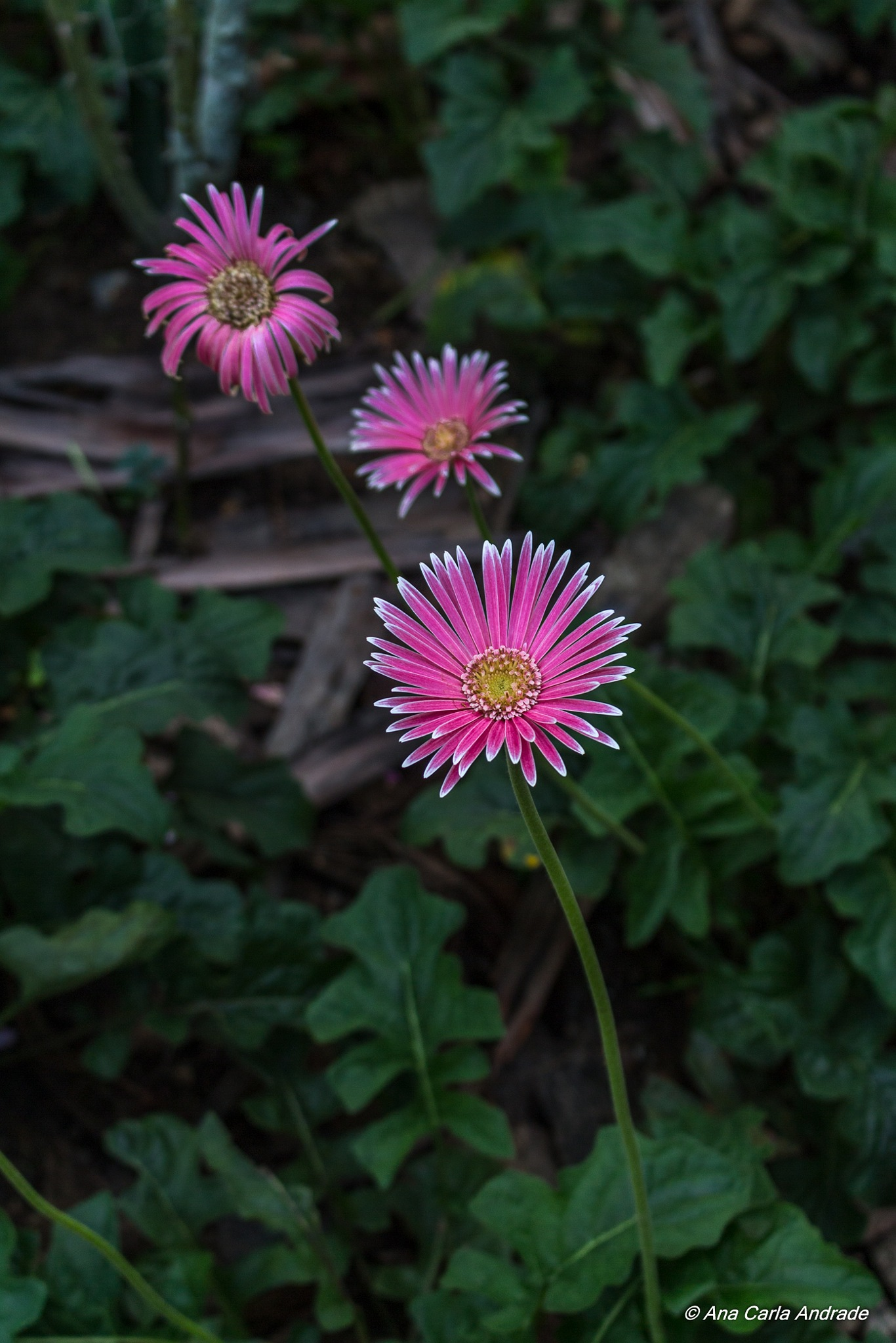 Flores para enfeitar a vida by Ana Carla Andrade