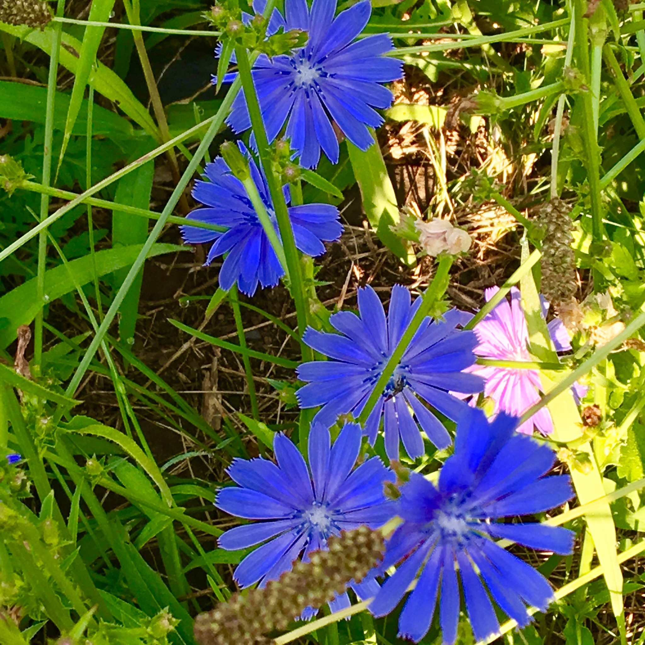 Chicory by DonnaFuller