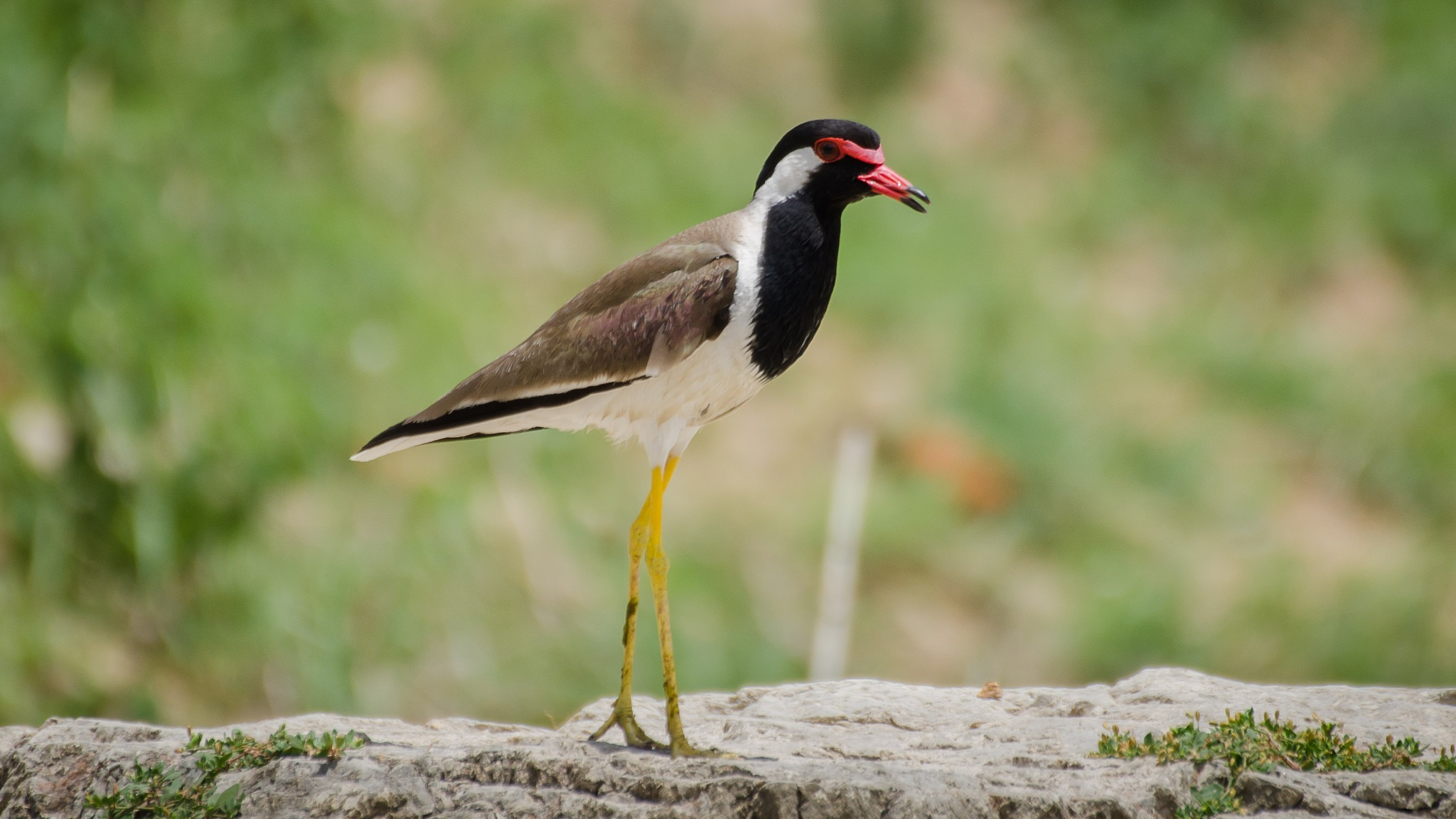 Red Wattled Lapwing by drkvijay2000
