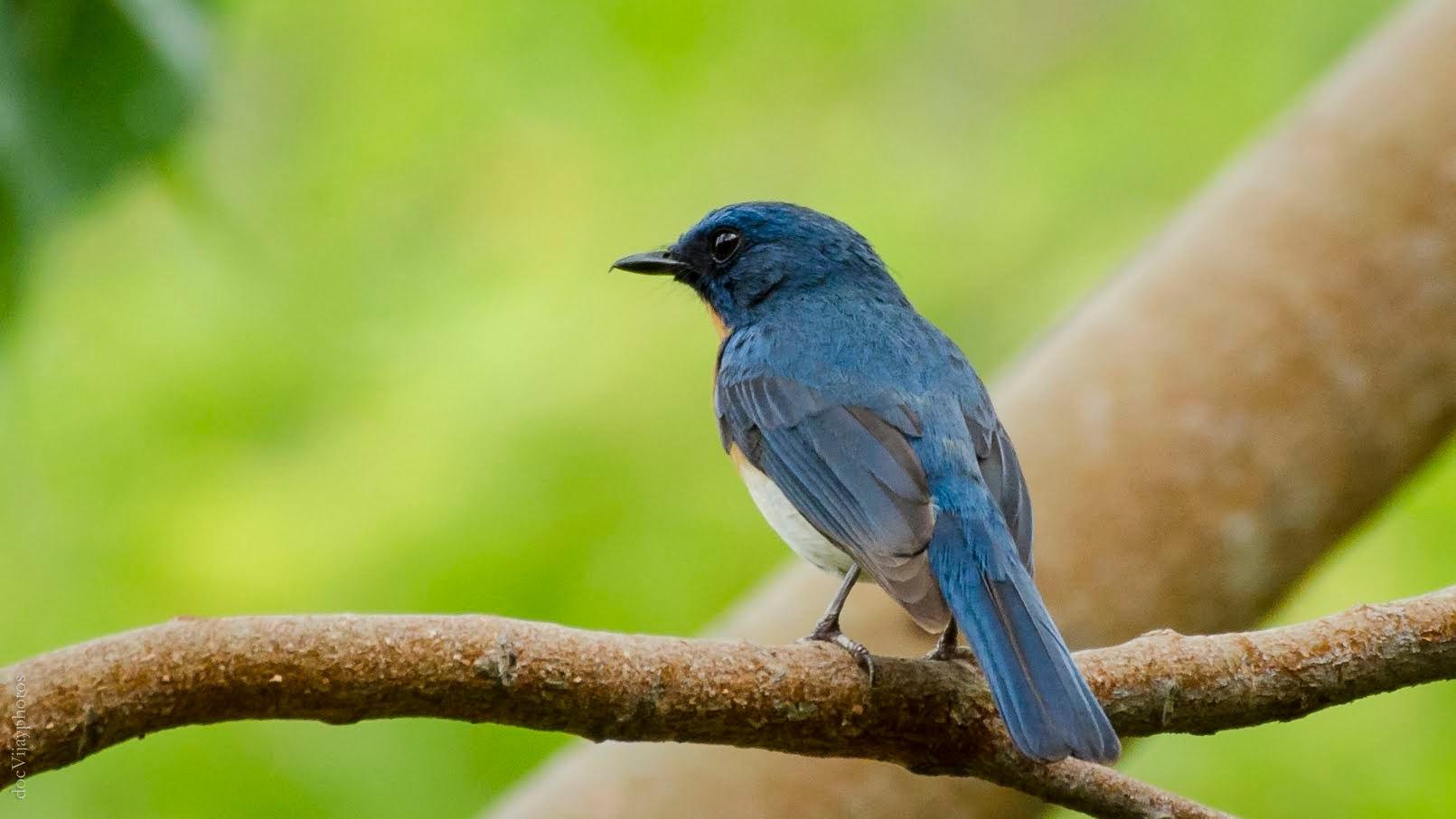 Tickel blue flycatcher  by drkvijay2000