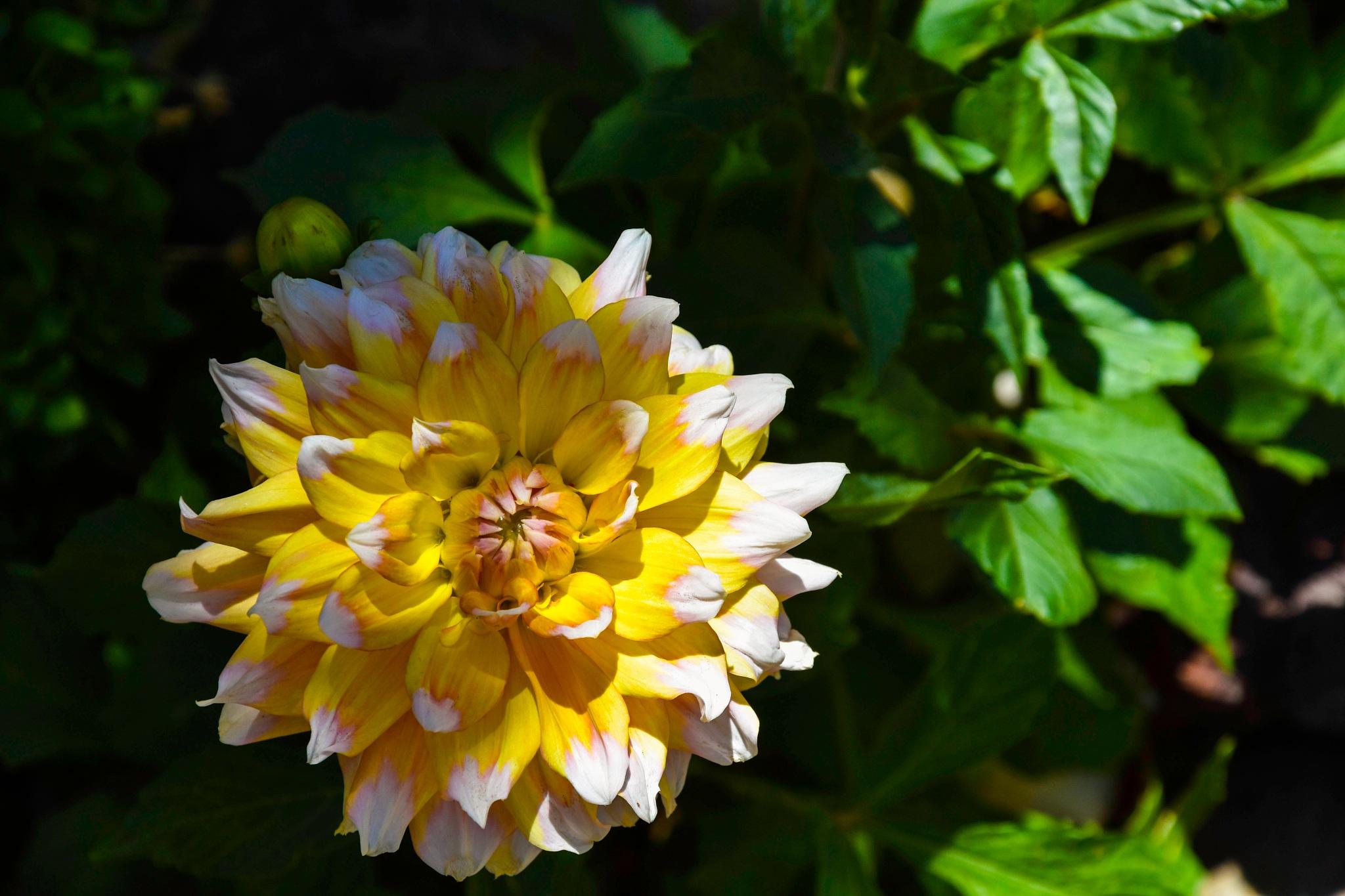 Gardenia ... by laprimerapalasatenea