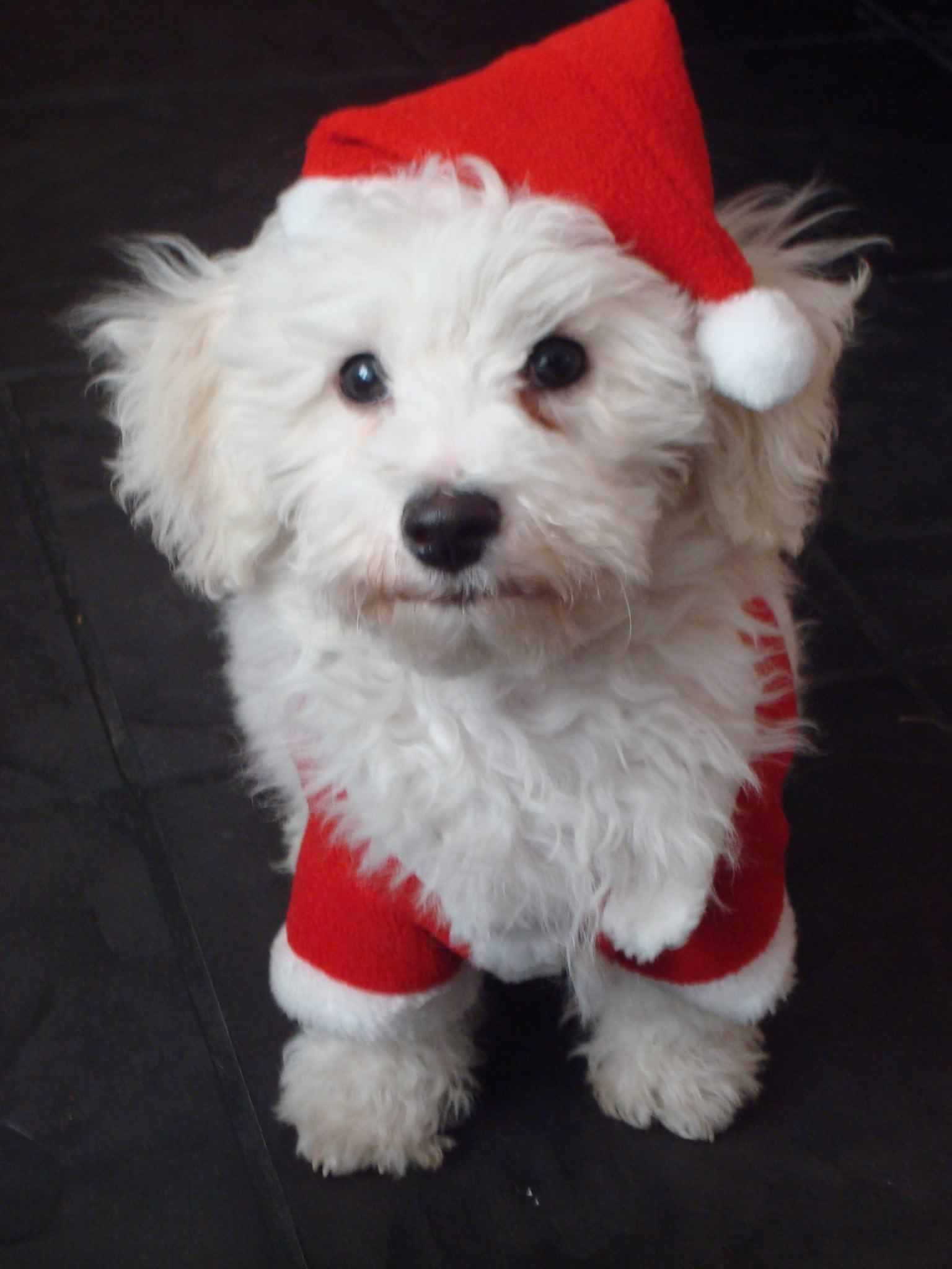 Christmas puppy by Lucinda Jeane