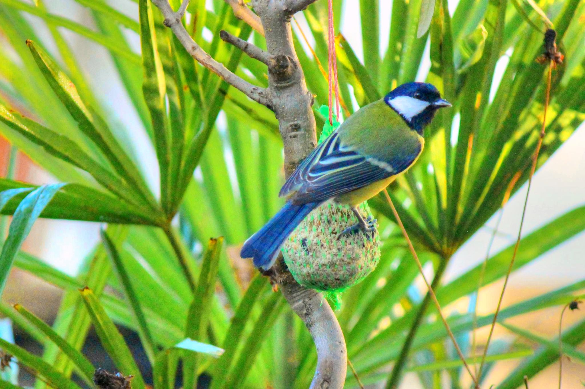 The Blue Tit by Christian Meyer