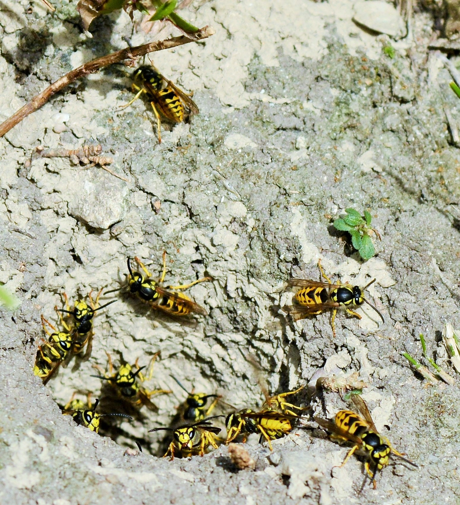 wasps - guepe by alison16