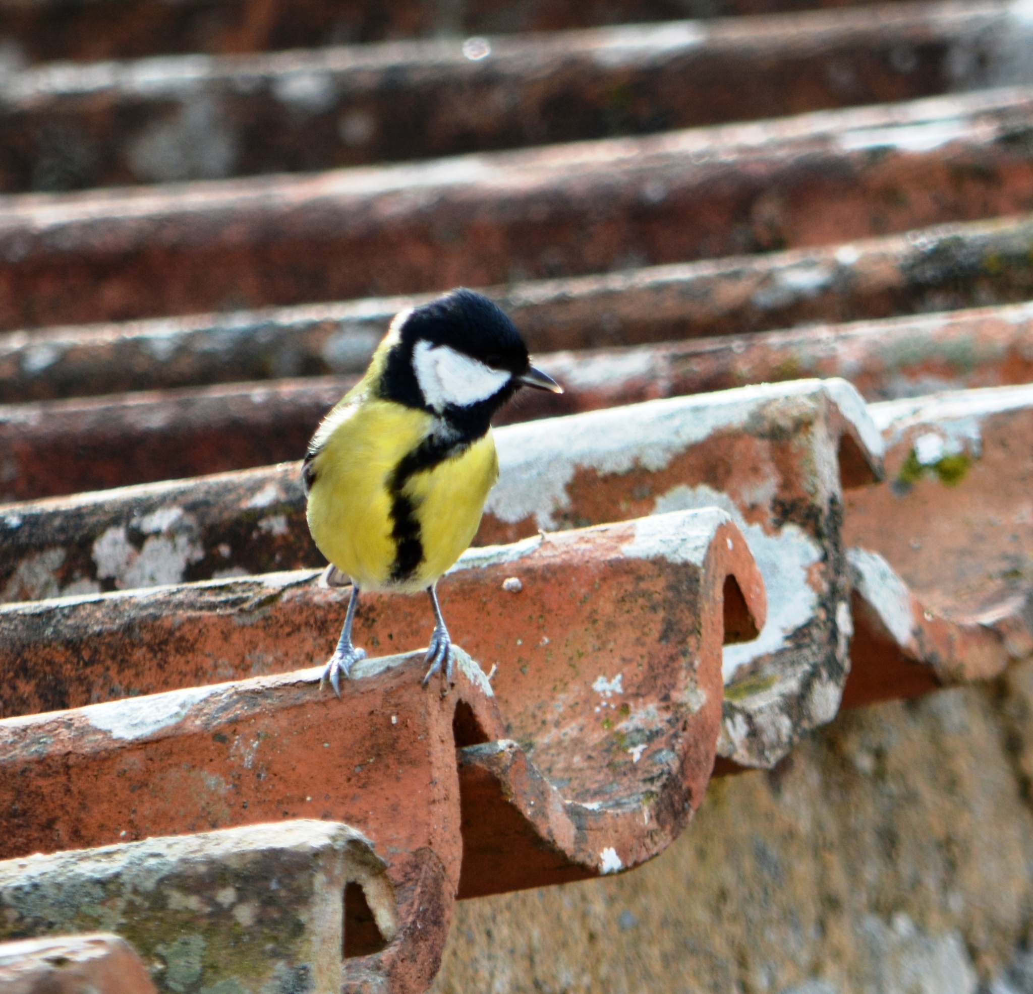 Great Tit by alison16