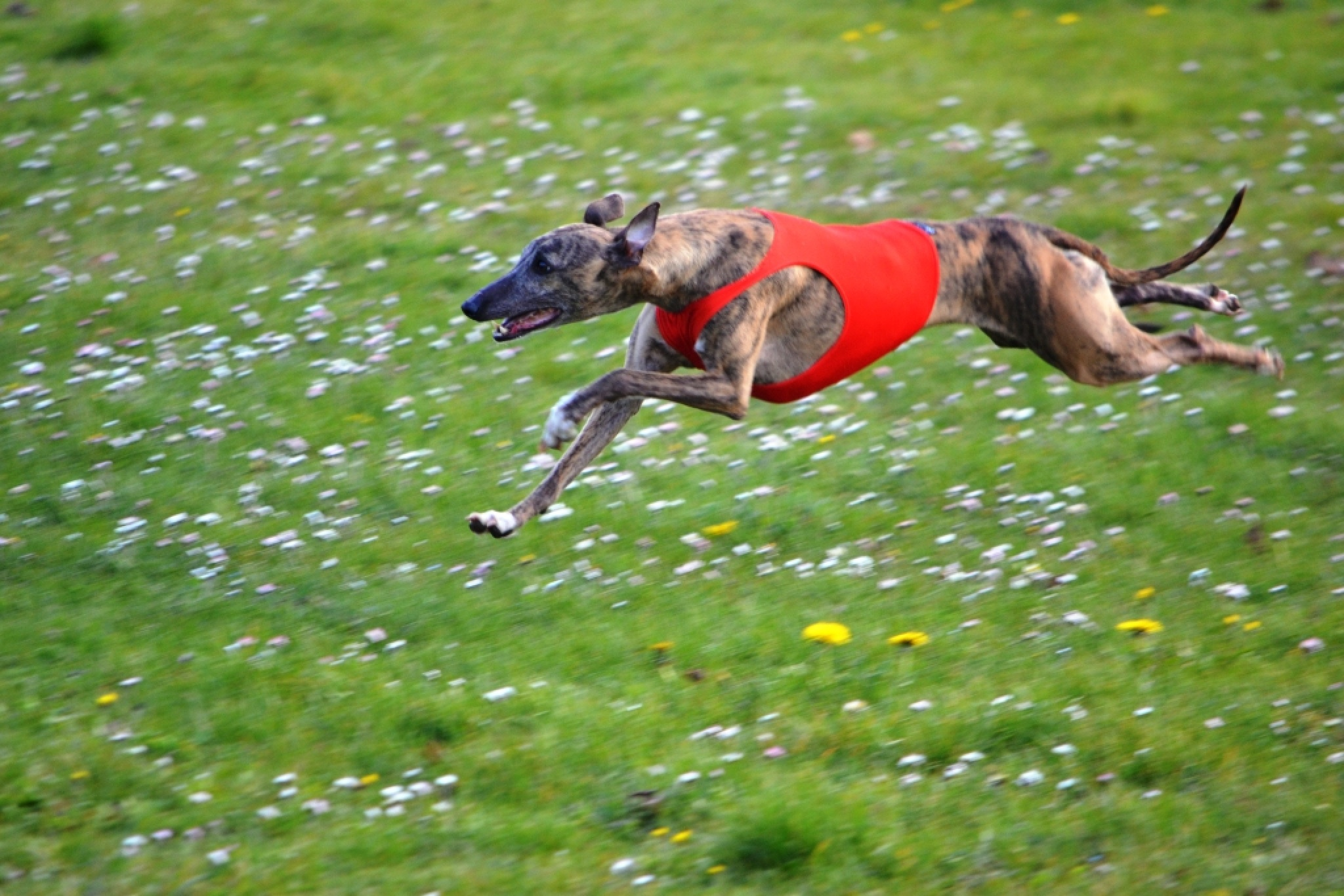 Racing Whippet by alison16