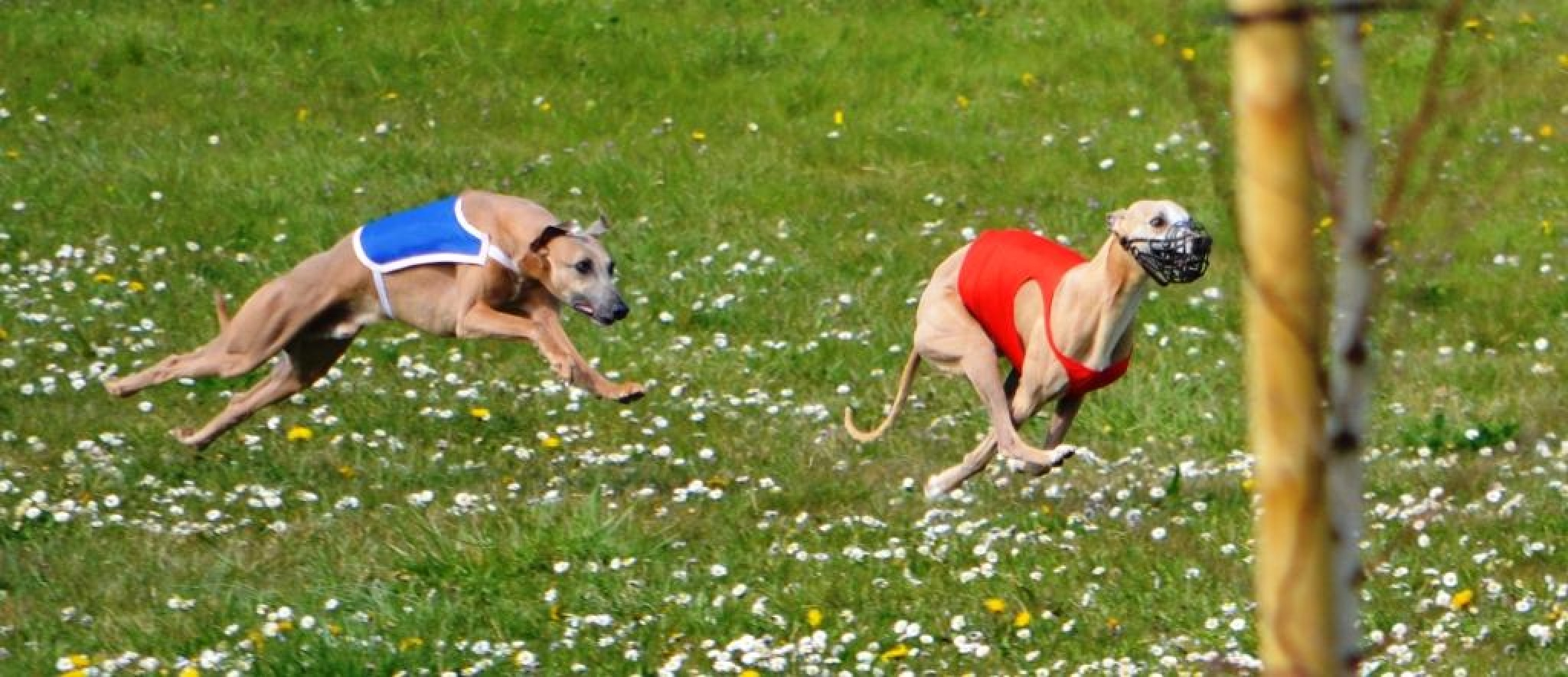 Racing Whippets by alison16
