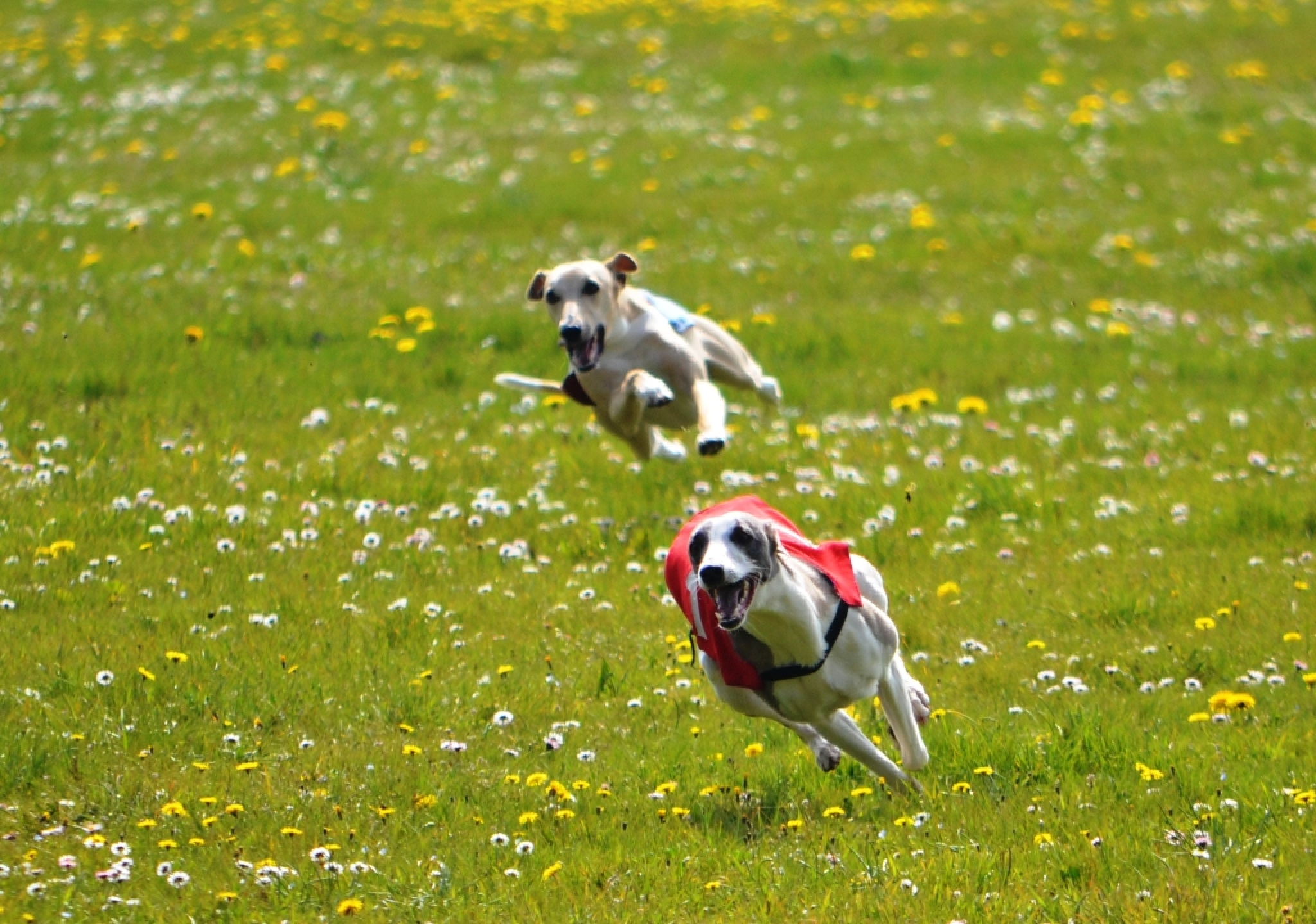 Flying Whippets by alison16