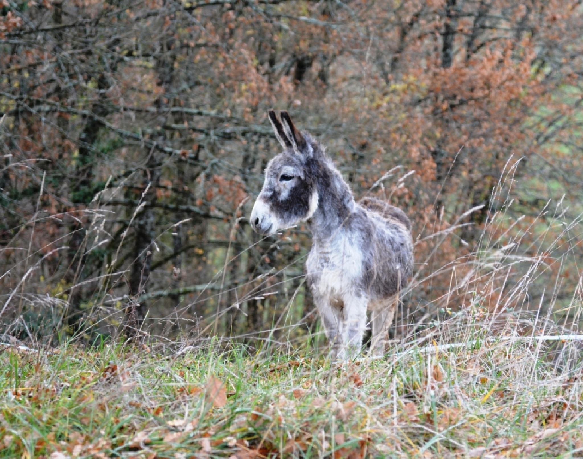 Sugar Bush my donkey by alison16
