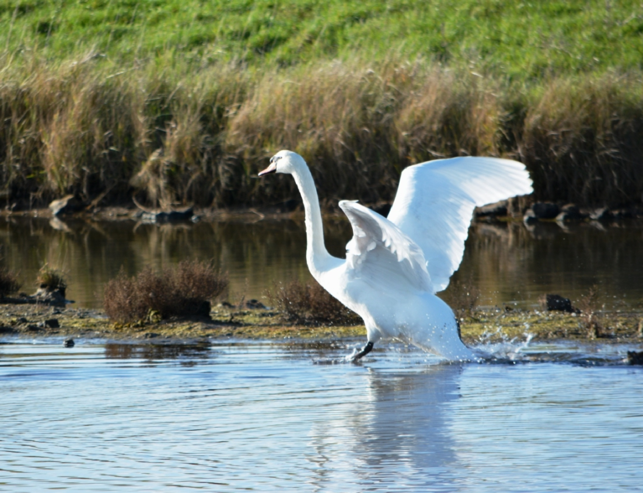 A wild swan about to take off by alison16
