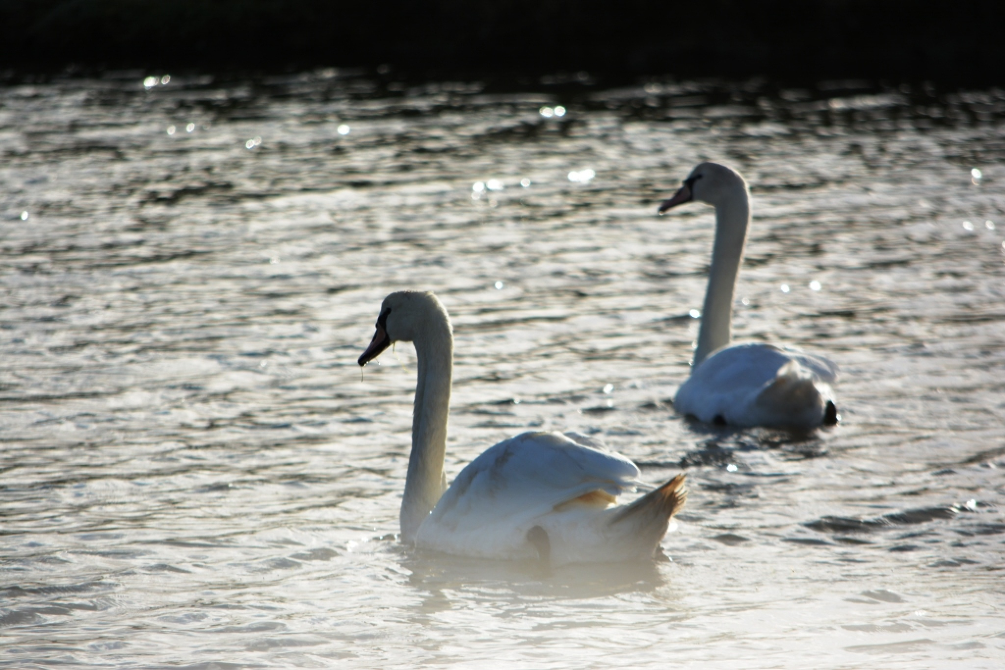 Wild swans by alison16