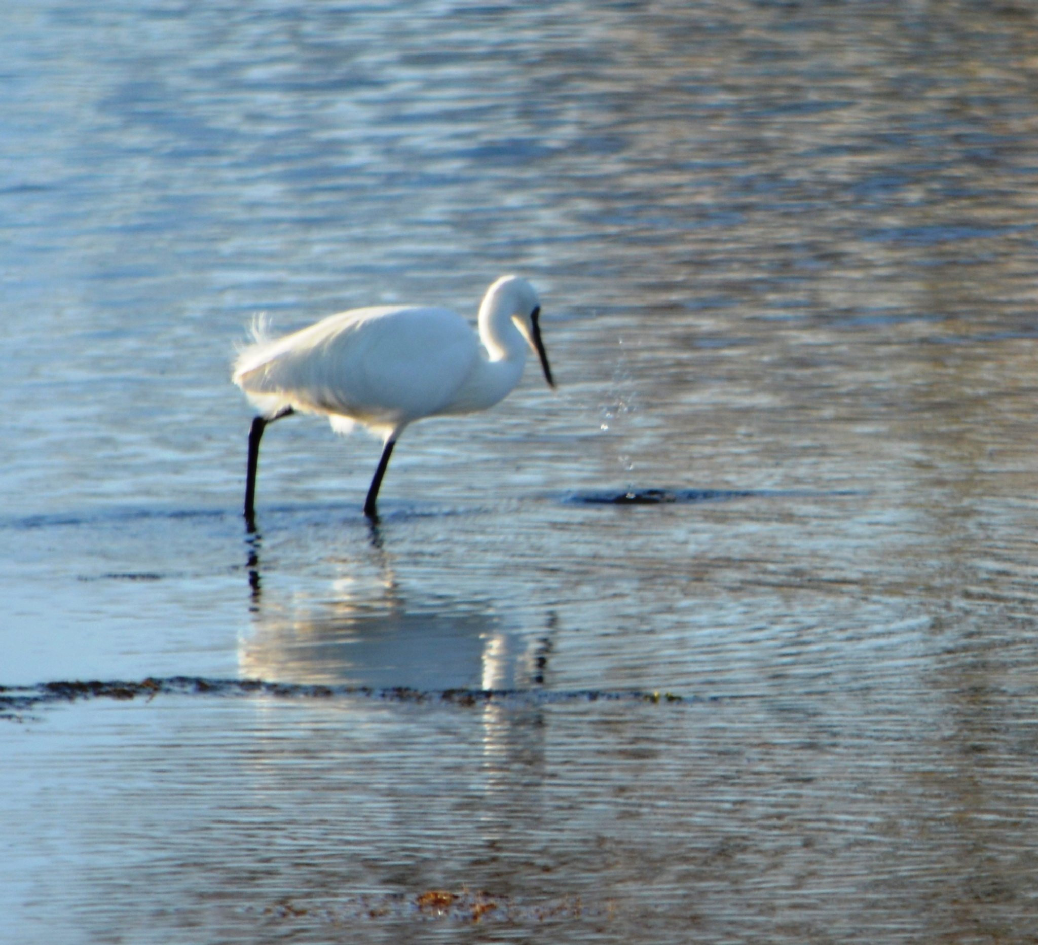 Great White Heron fishing by alison16