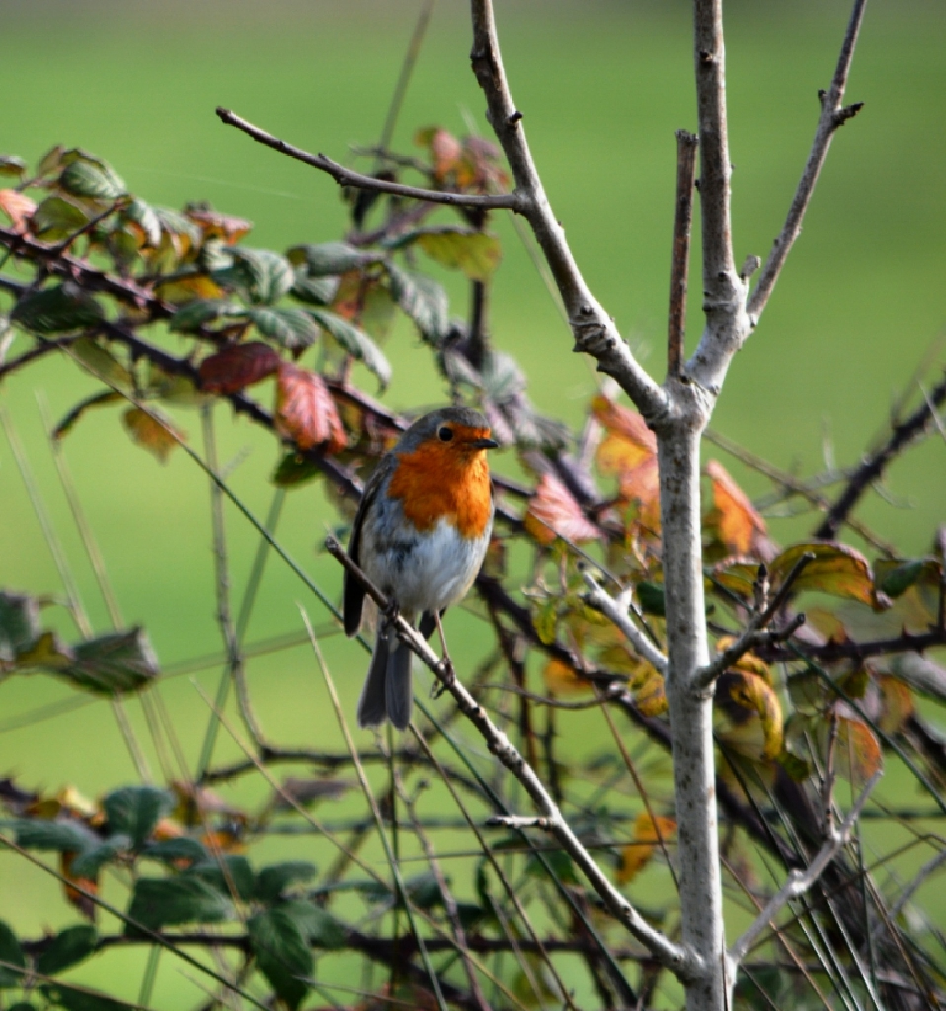 A Robin by alison16