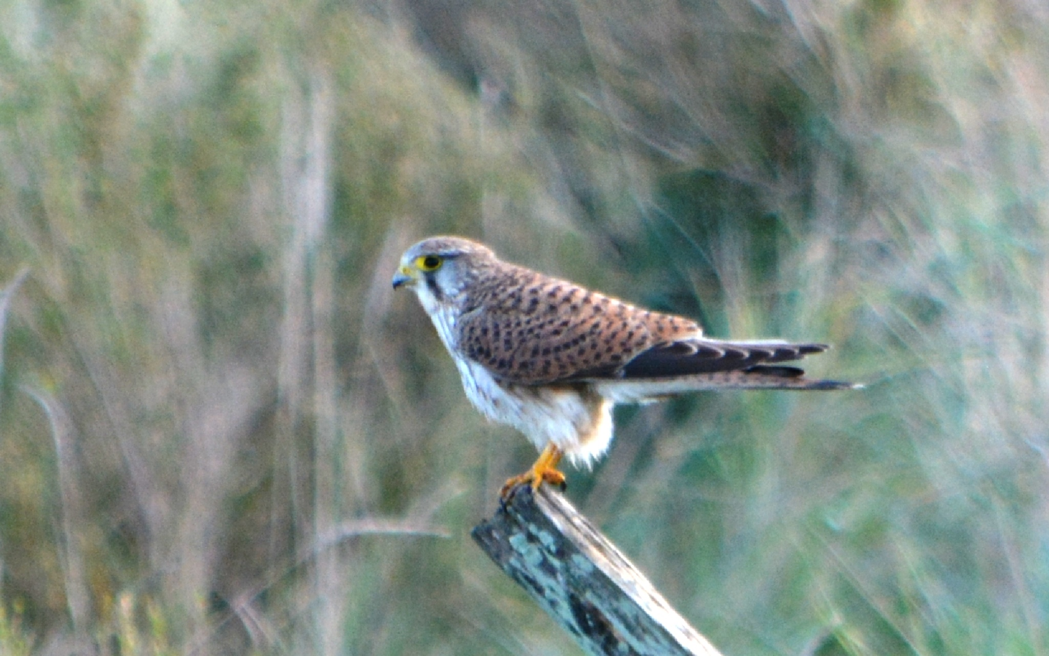 Kestrel in the wetlands by alison16