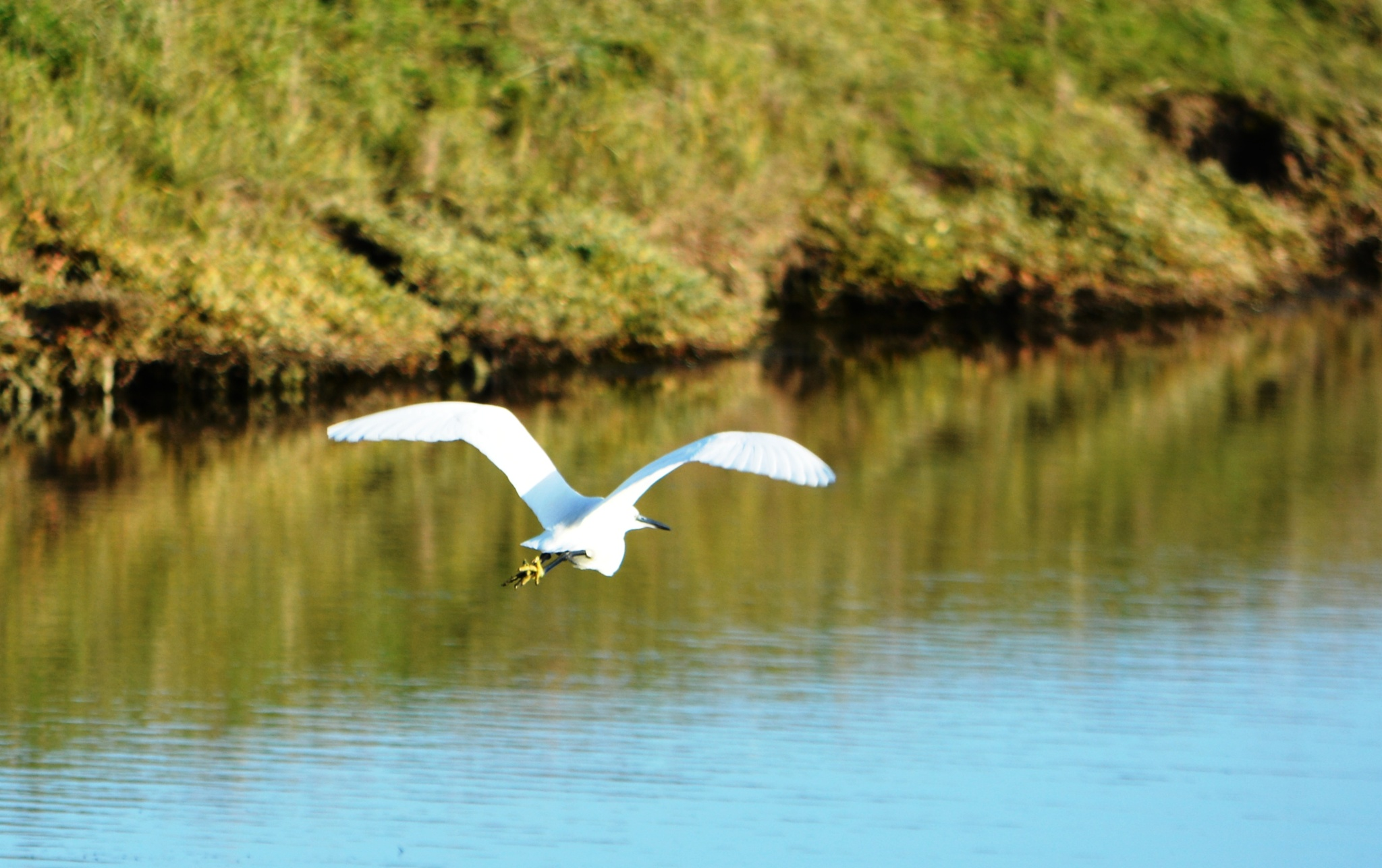 Great white heron by alison16