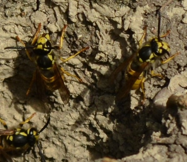 Wasps that have their nest in the earth by alison16