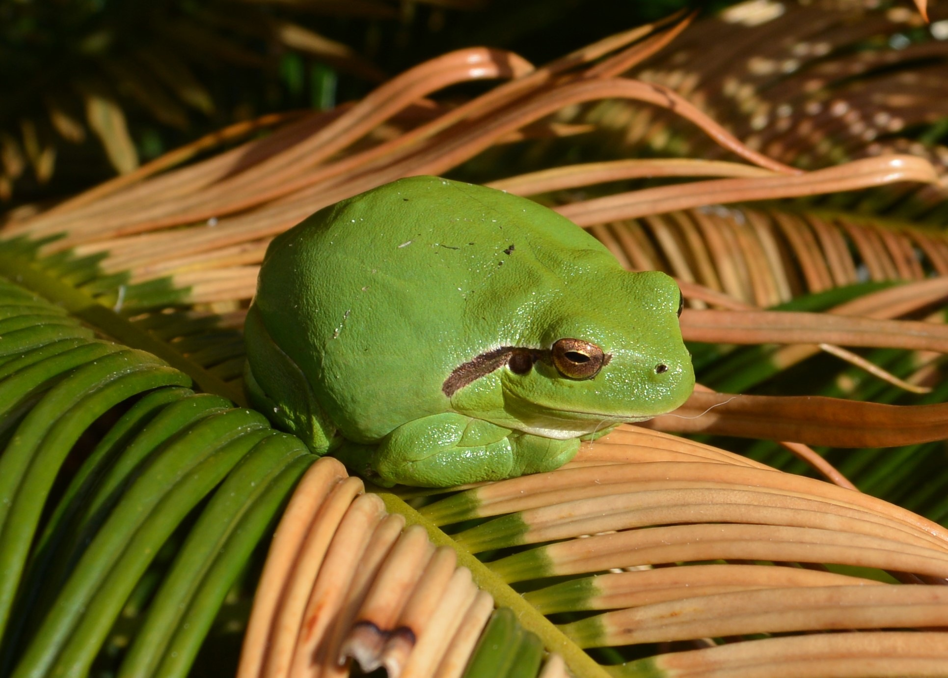Tree Frog - Reinette by alison16