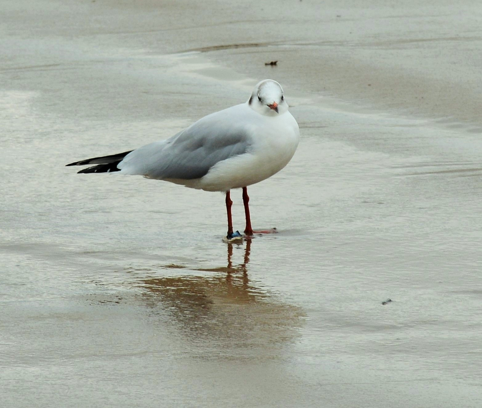 Mouette Rieuse - Laughing Gull by alison16