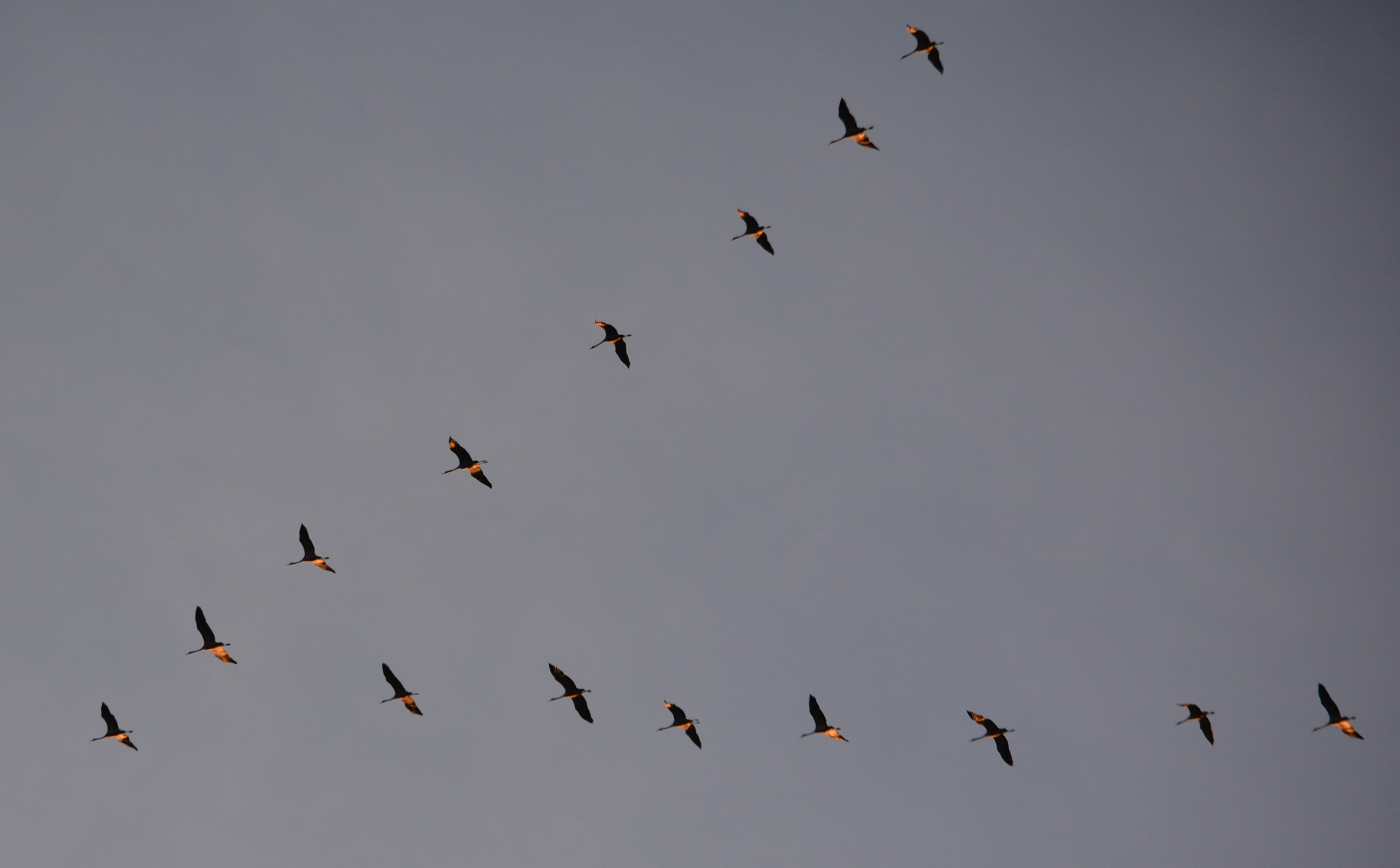 Cranes - Grues heading south! by alison16