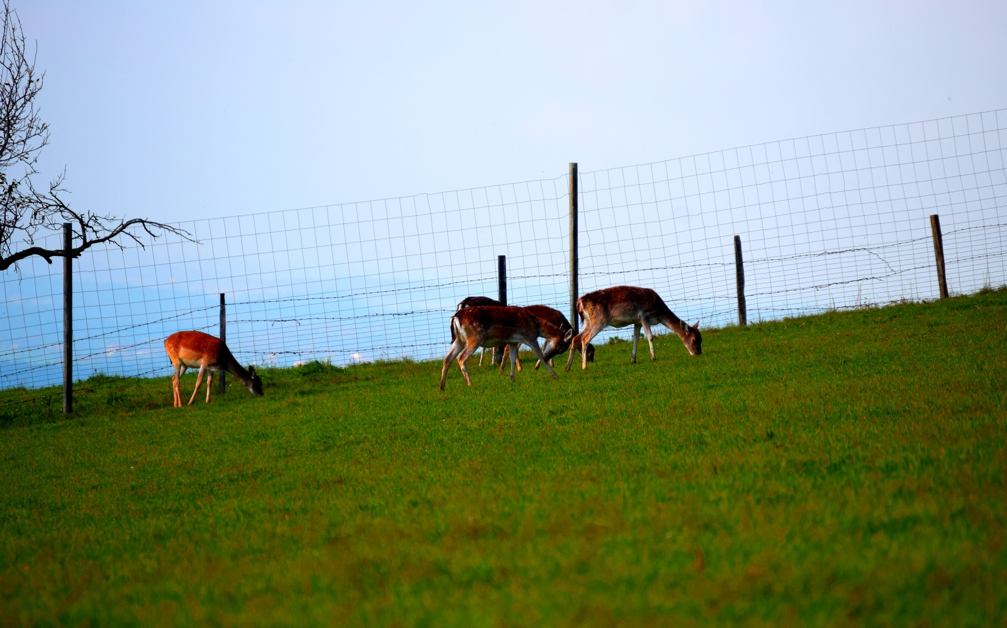 Deer Group searching for Food by PeterHaselstoner