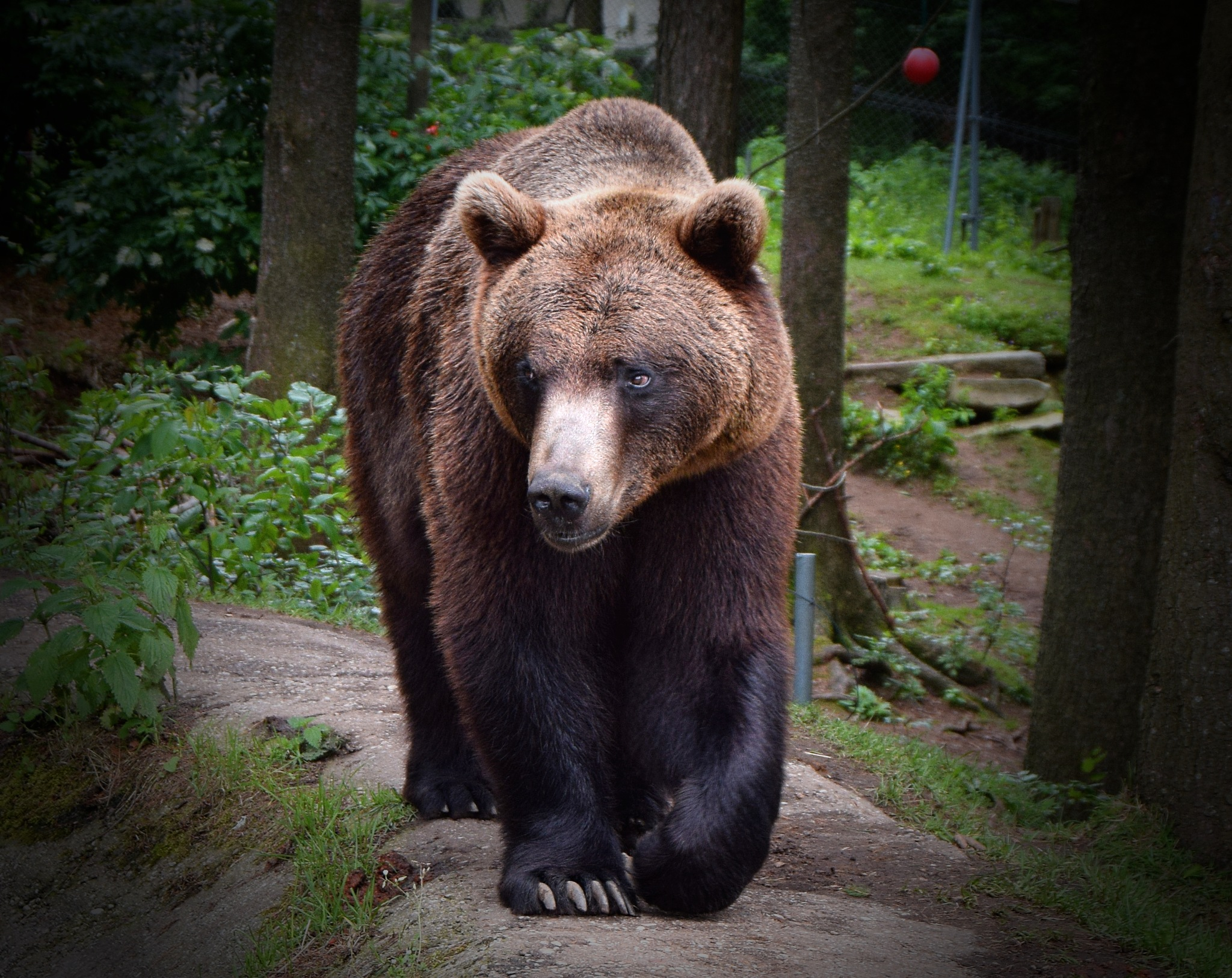 Brown Bear by PeterHaselstoner