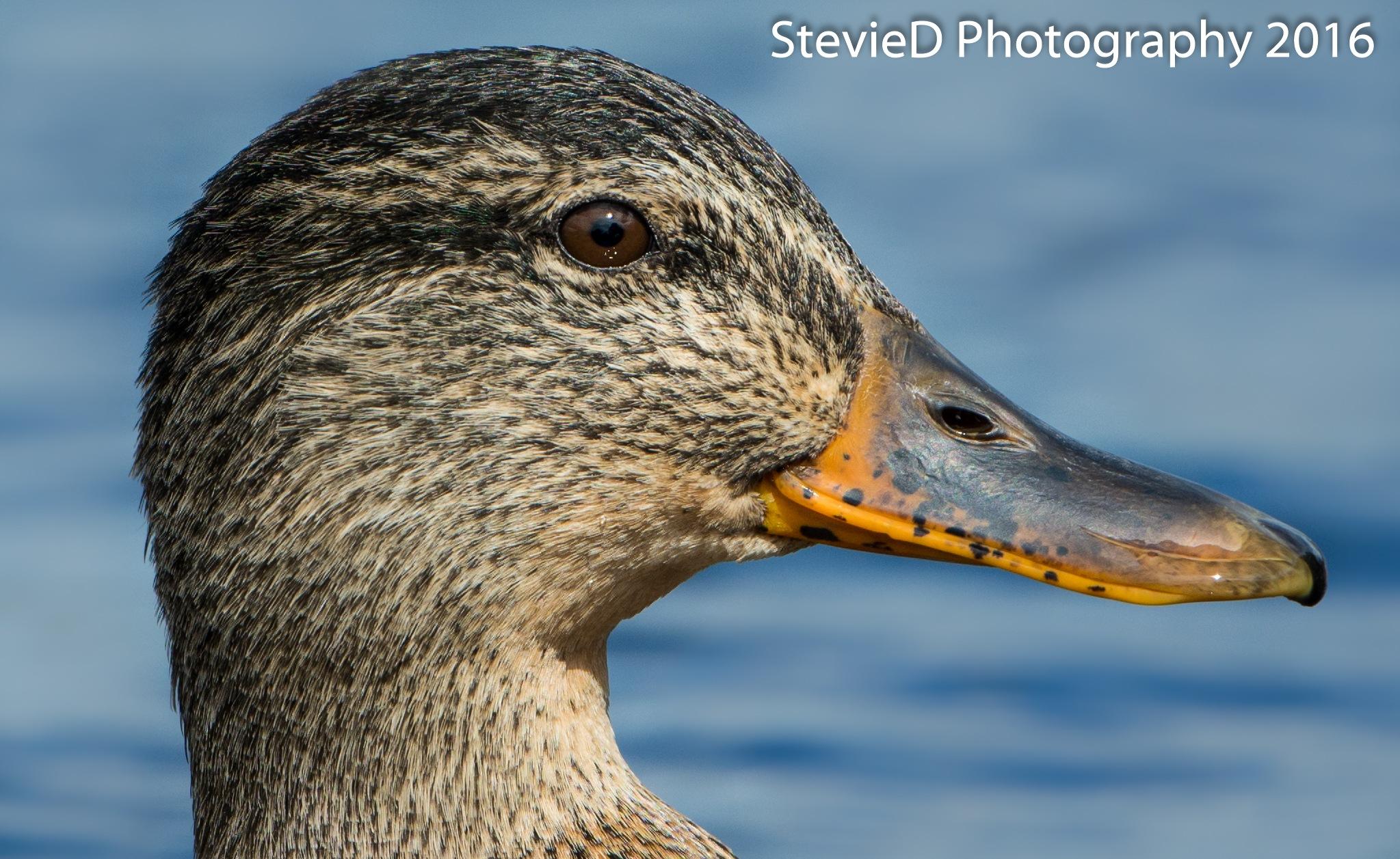 Junior mallard Duck by Happyharry